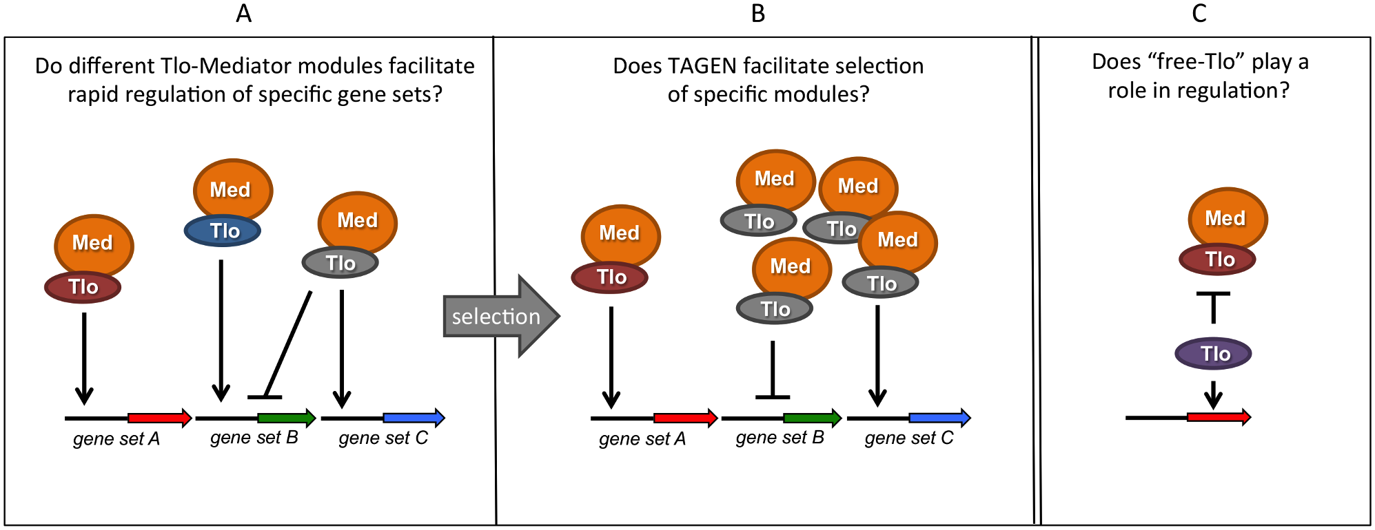 Summary of hypotheses on the possible function(s) of multiple <i>TLO</i> genes in <i>C</i>. <i>albicans</i>.