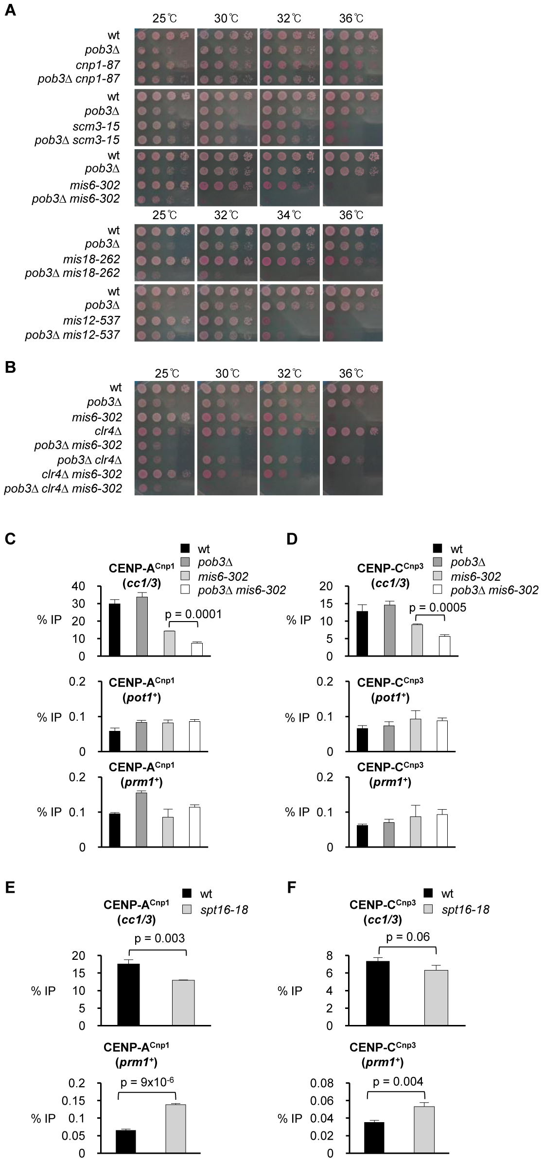 Pob3 genetically interacts with Mis6 and Mis18 and is required to maintain CENP-A<sup>Cnp1</sup> at endogenous centromeres in <i>mis6-302</i> cells.