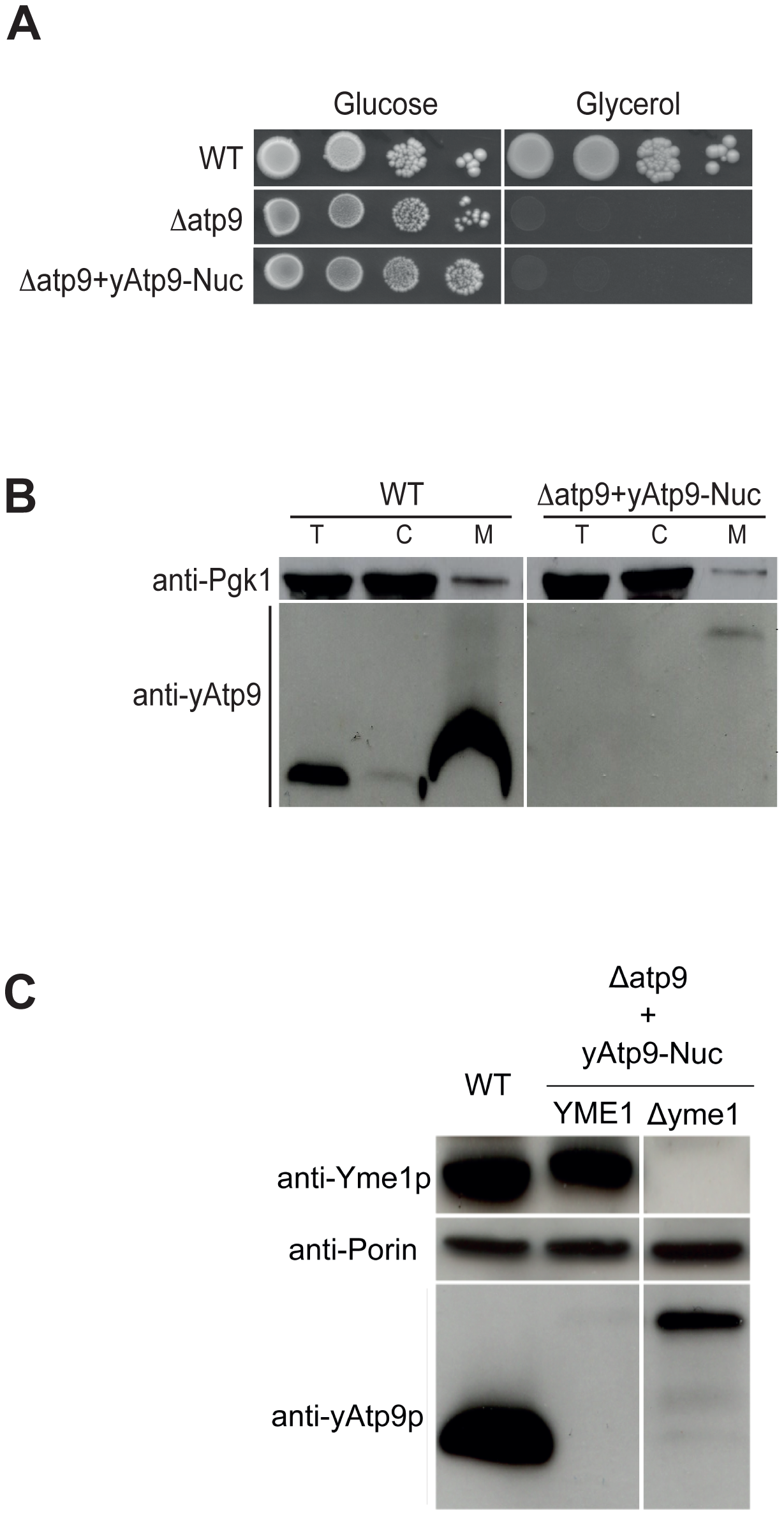 A nuclear version of the yeast mitochondrial <i>ATP9</i> gene fails to complement the <i>Δatp9</i> yeast.
