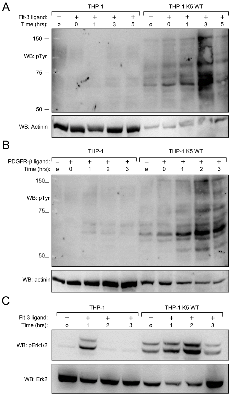 K5 WT-THP-1 cells are more responsive to Flt-3 and PDGF-ß-induced signaling and have increased Erk activation.