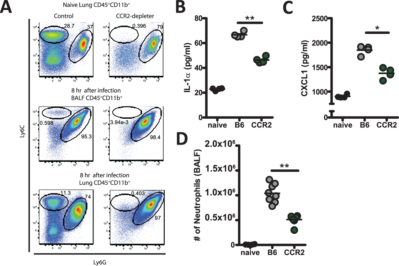 CCR2<sup>+</sup> monocyte regulate early IL-1α and CXCL1 expression.