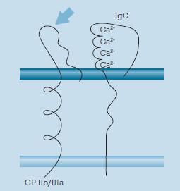 Schéma. Vazba autoprotilátek IgG na specifické glykoproteiny GPIIb/ /IIIa na membráně trombocytů.