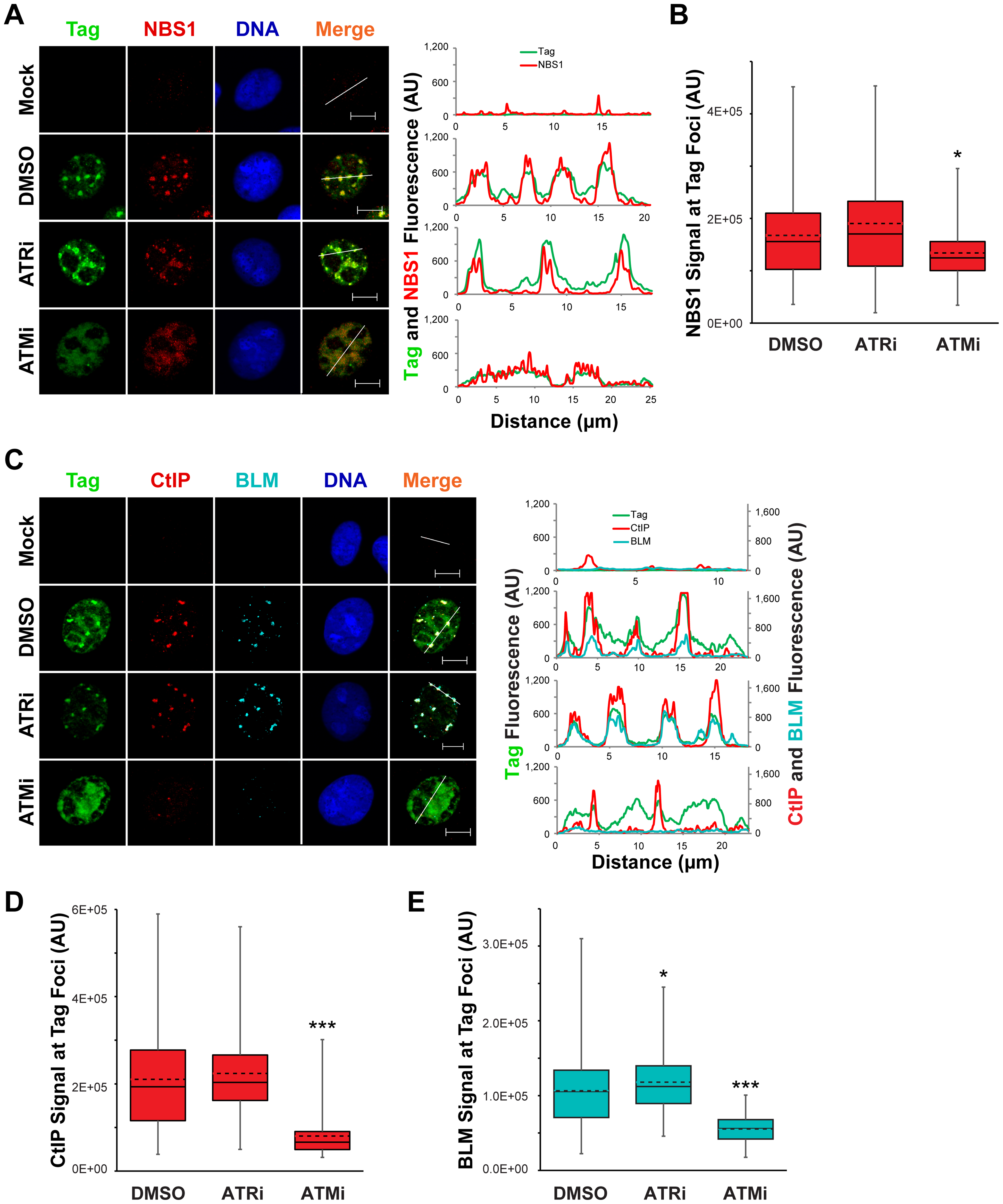 Localization of 5′ to 3′ DNA end resection proteins is promoted by ATM kinase.