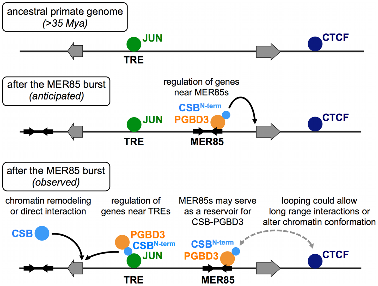 ChIP–seq data suggest multiple roles for the CSB-PGBD3 fusion protein in gene regulation.