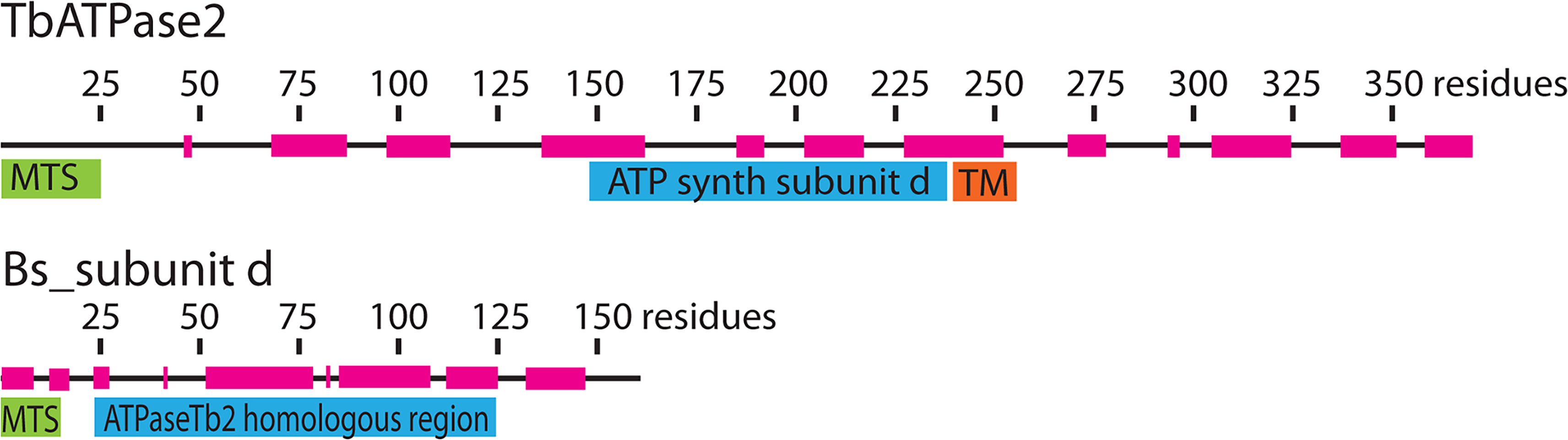 Bioinformatics reveal that ATPaseTb2 possesses a region of low homology to ATPase subunit d.