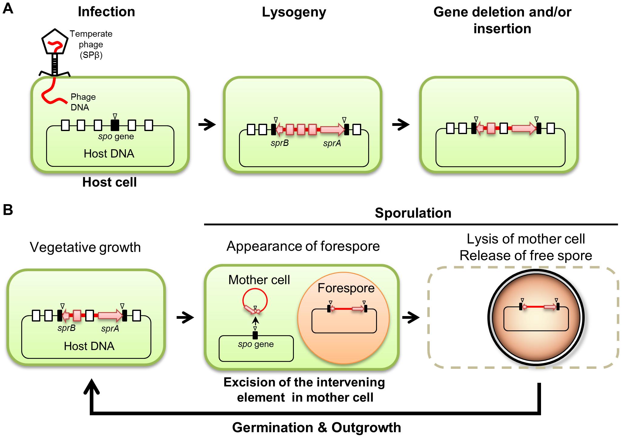 Model of the phage-mediated DNA rearrangement.