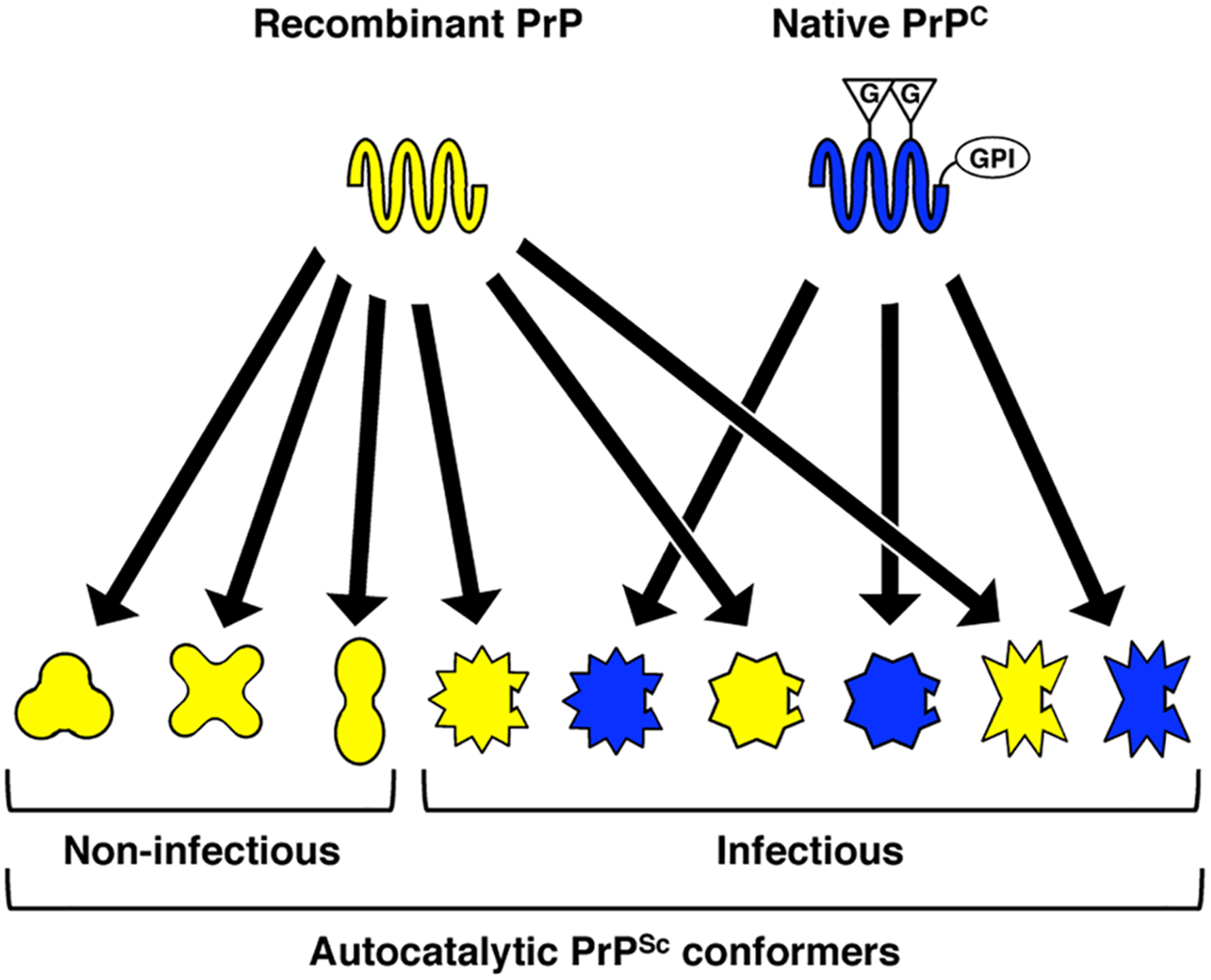 Proposed model, supported by structural and functional data in the present study, to explain variation in specific infectivity between different recombinant PrP<sup>Sc</sup> conformers.