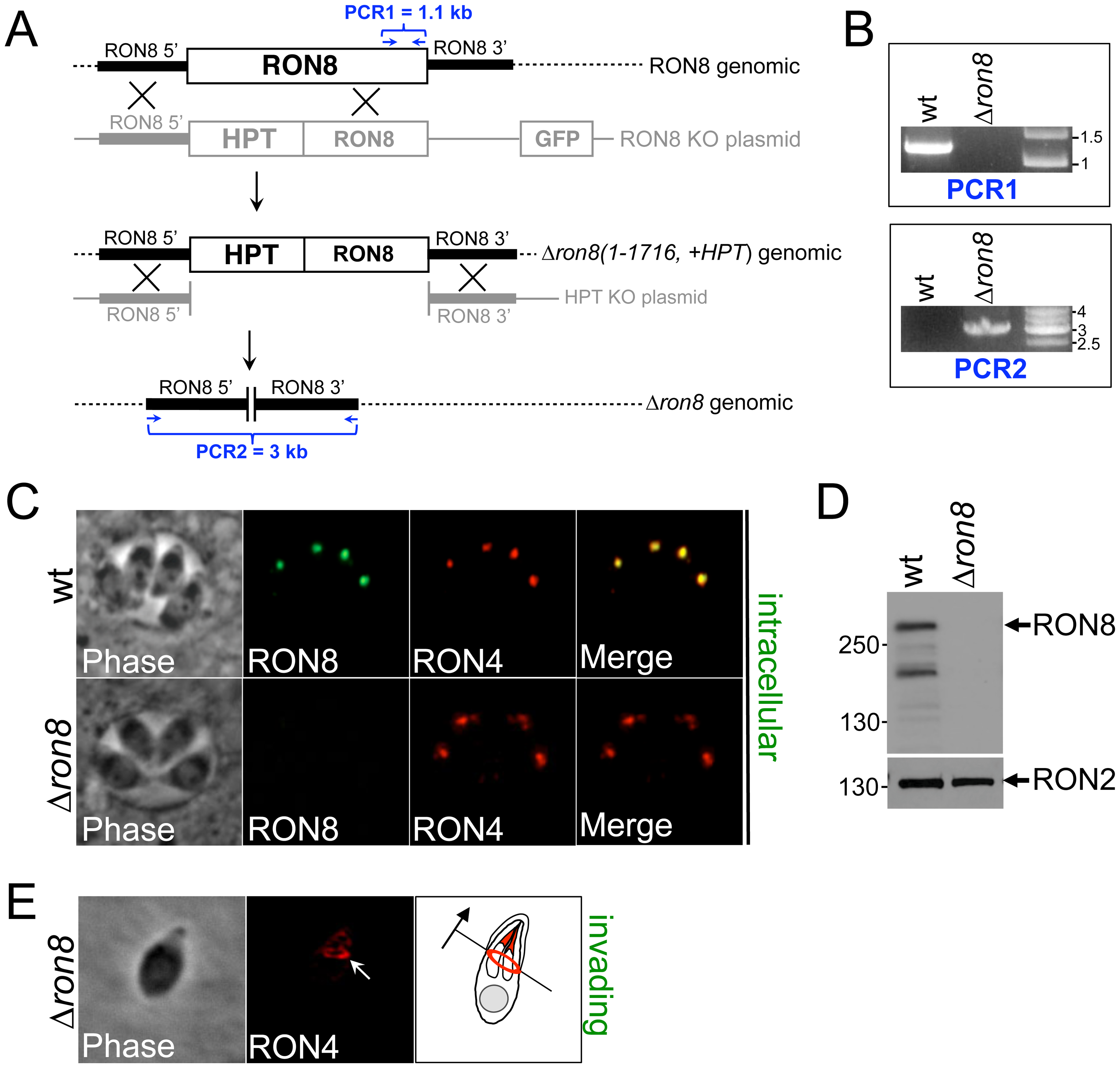 RON8 is the only RON/MJ protein to be disrupted in the Apicomplexa.