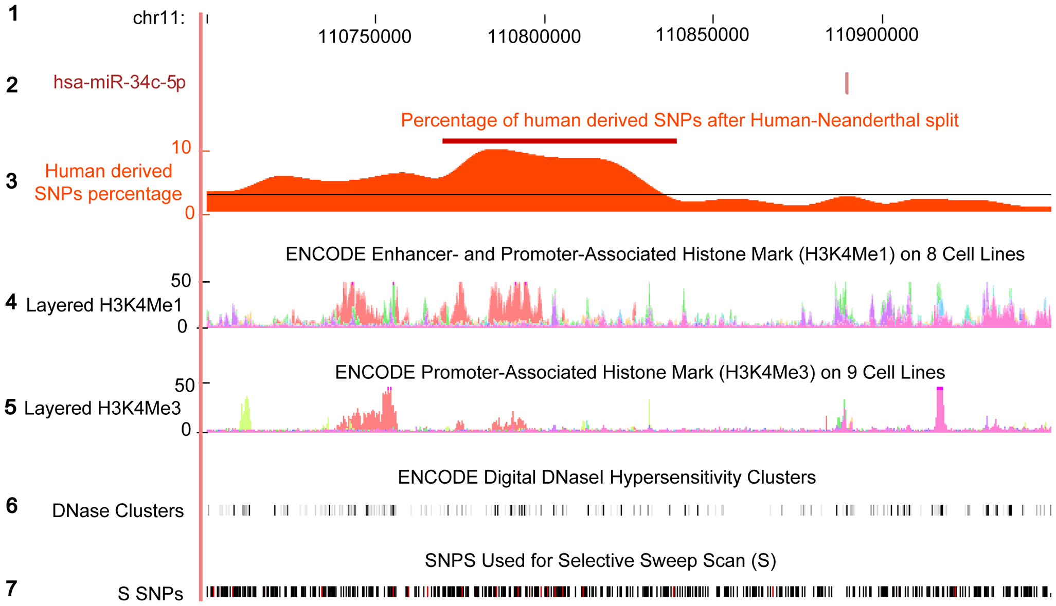 Excess of human derived SNPs in the upstream region of hsa-miR-34c.