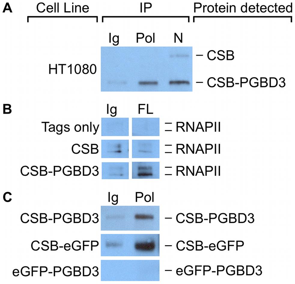 CSB-PGBD3 and CSB-eGFP co-immunoprecipitate with RNA polymerase II (RNAPII).