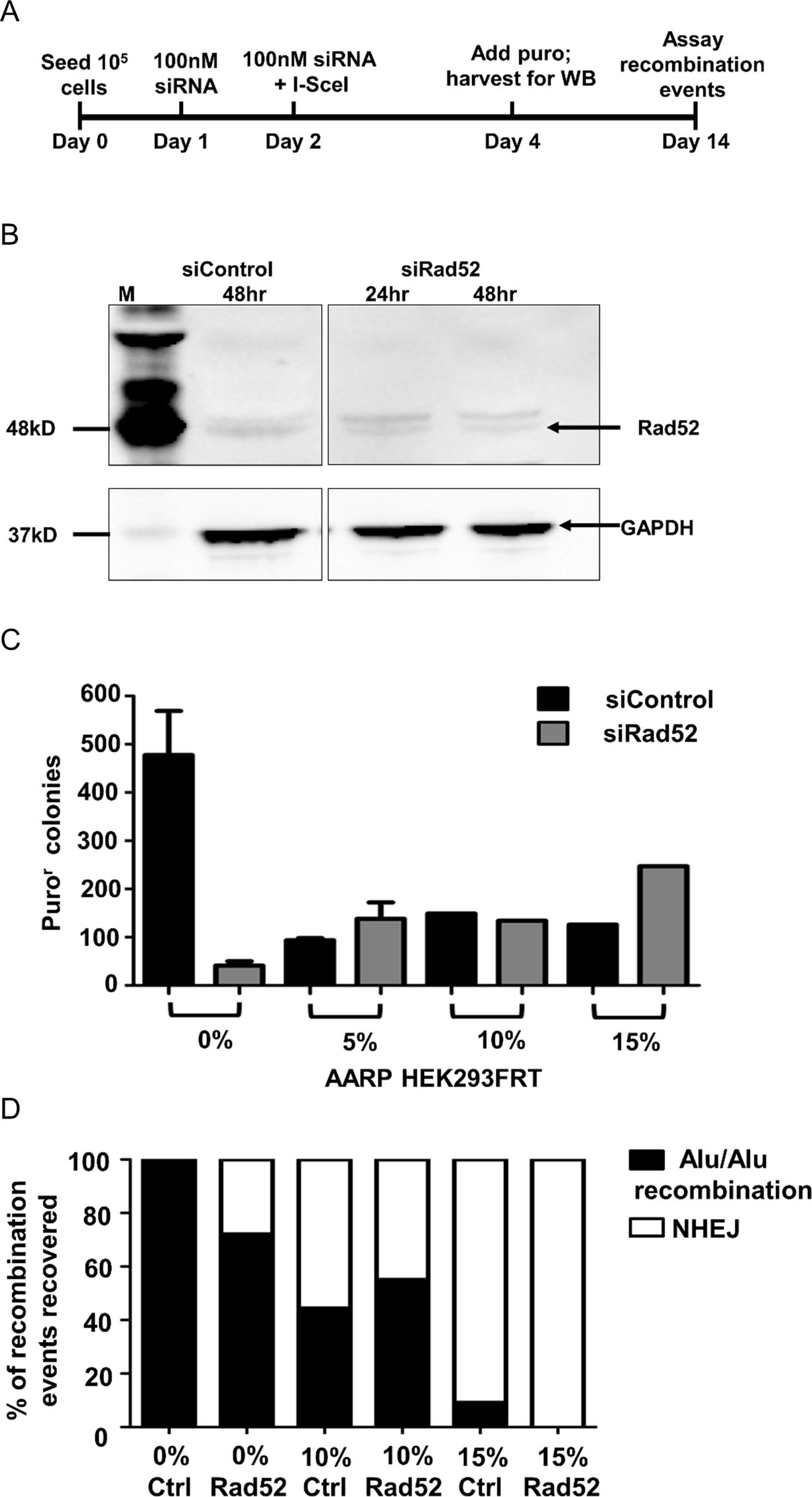 Experiments testing the effect of Rad52 siRNA knockdown in AARP HEK293FRT cells.