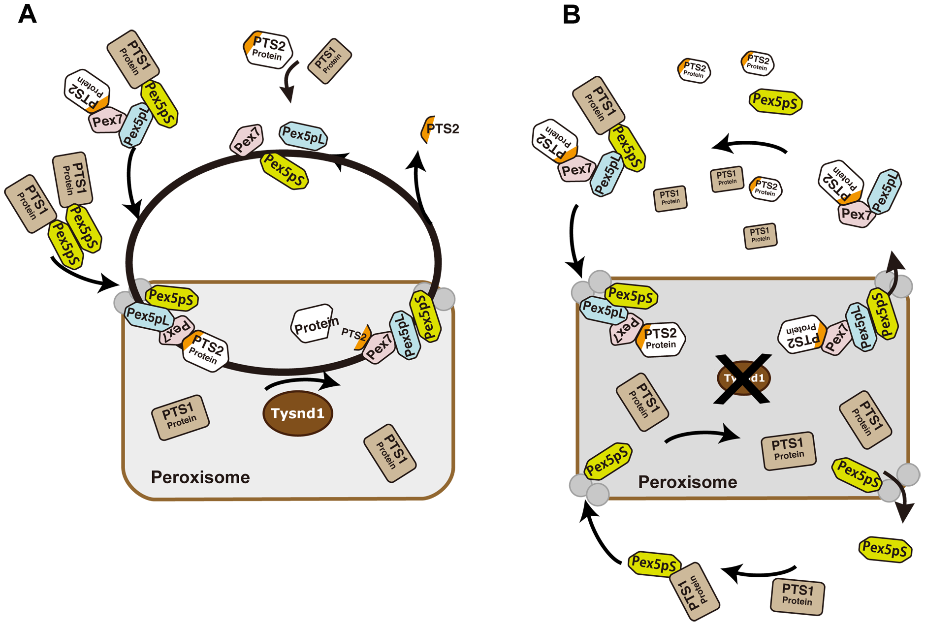 Proposed model of PTS2-protein import into peroxisomes in presence or absence of Tysnd1.