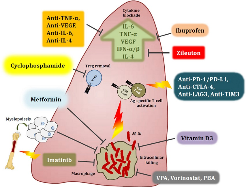 Host-directed therapies aimed at modulating immune responses in the tuberculous lung. Overt immune responses characterise the pathological outcome in tuberculosis (TB). Neutralisation of pro-inflammatory cytokines such as IL-6, TNF-α, VEGF and IFN-αβ, as well as anti-inflammatory IL-4 during severe pulmonary disease may help reduce ongoing parenchymal damage in the lung. Alternatively, suboptimal activation of anti-TB immune responses due to regulatory T cell activity can be reversed by the use of the anti-cancer drug cyclophosphamide. Drugs with anti-TB potential, such as metformin, imatinib, ibuprofen, zileuton, valproic acid, and vorinostat as well as nutraceuticals such as vitamin D3 not only abate bacterial burden via host-dependent mechanisms, but may also fine-tune the immune response to Mycobacterium tuberculosis (M. tb). These drugs increase phagocytosis of extracellular bacteria, improved emergency myeloid response and increased autophagic and apoptotic killing of bacteria, subsequently editing the T cell response in favour of the host. Immune checkpoint inhibition with blockade of the PD-1/PD-L1, CTLA-4, LAG3 and TIM3 pathways may improve the quality of the cellular immune response to M. tb epitopes, as seen in cancer. A more complete list of currently pursued host-directed therapies for TB can be found in Table 1. Abbreviations: VPA, valproic acid; PBA, phenylbutyrate; PD-1, programmed cell death 1; PD-L1, PD-1 ligand 1; CTLA-4, cytotoxic T lymphocyte-associated antigen 4; LAG3, lymphocyte-activation gene 3; TIM3, T cell immunoglobulin and mucin domain 3