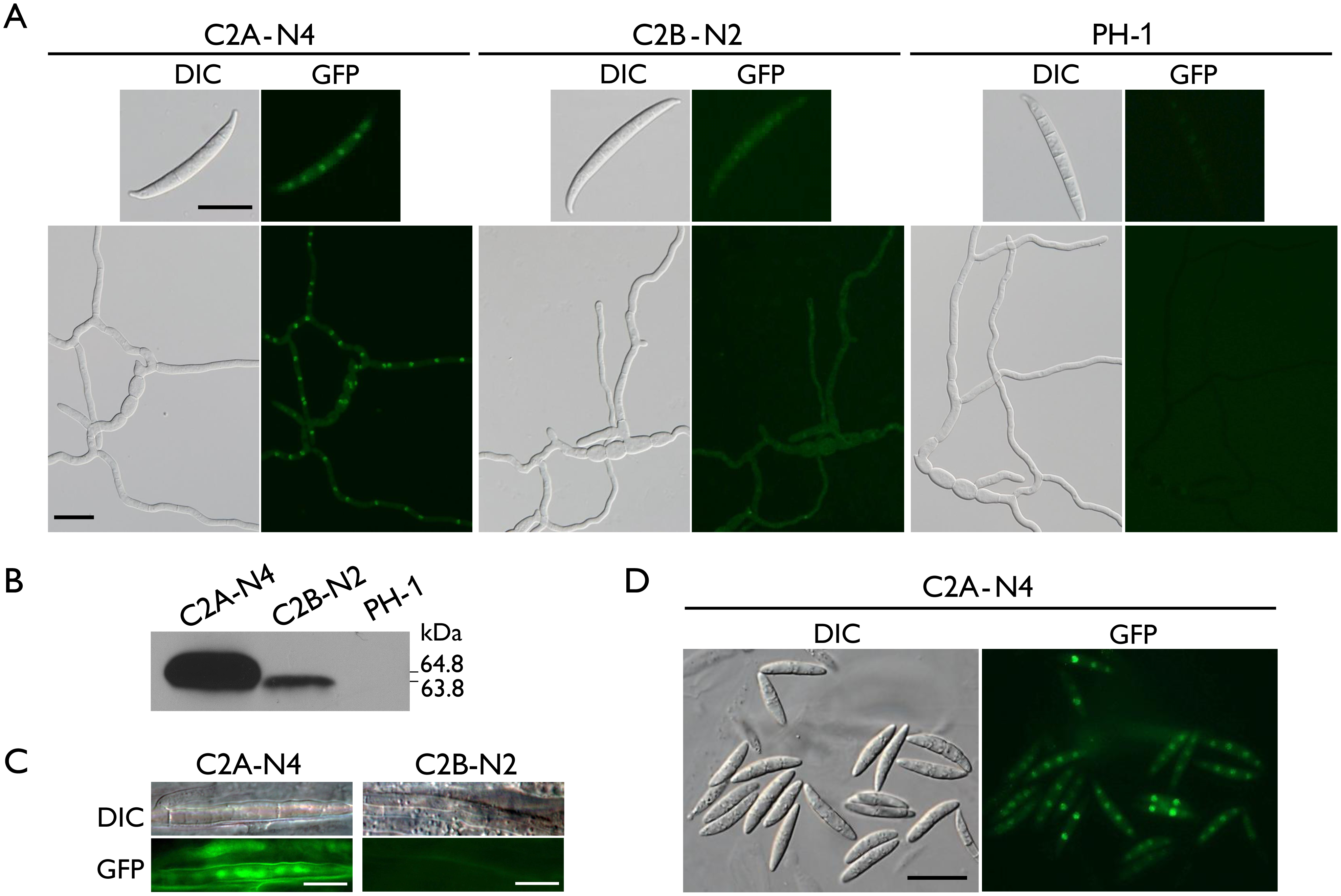 Expression and subcellular localization of Cdc2A-GFP and Cdc2B-GFP fusion proteins.