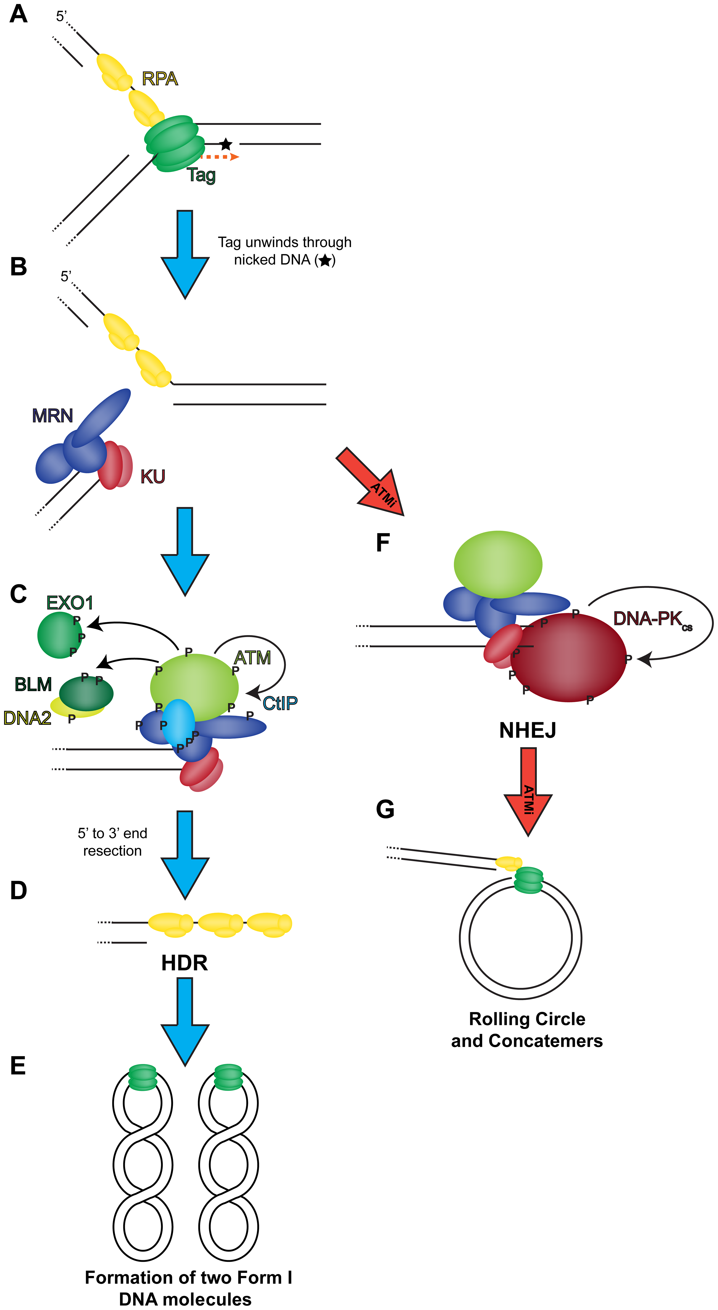 Model of the role of DNA double strand break repair during SV40 DNA replication.
