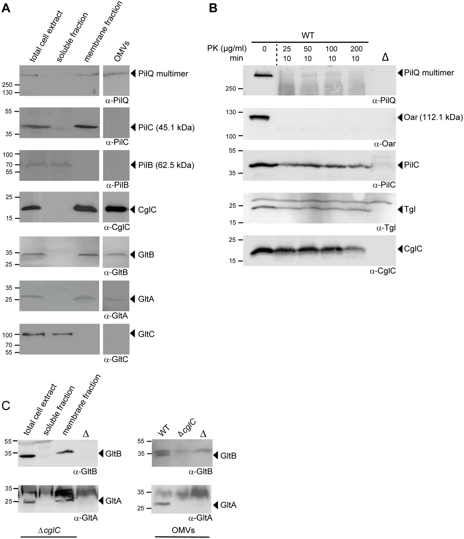 Subcellular localization of CglC, GltB, GltA and GltC.