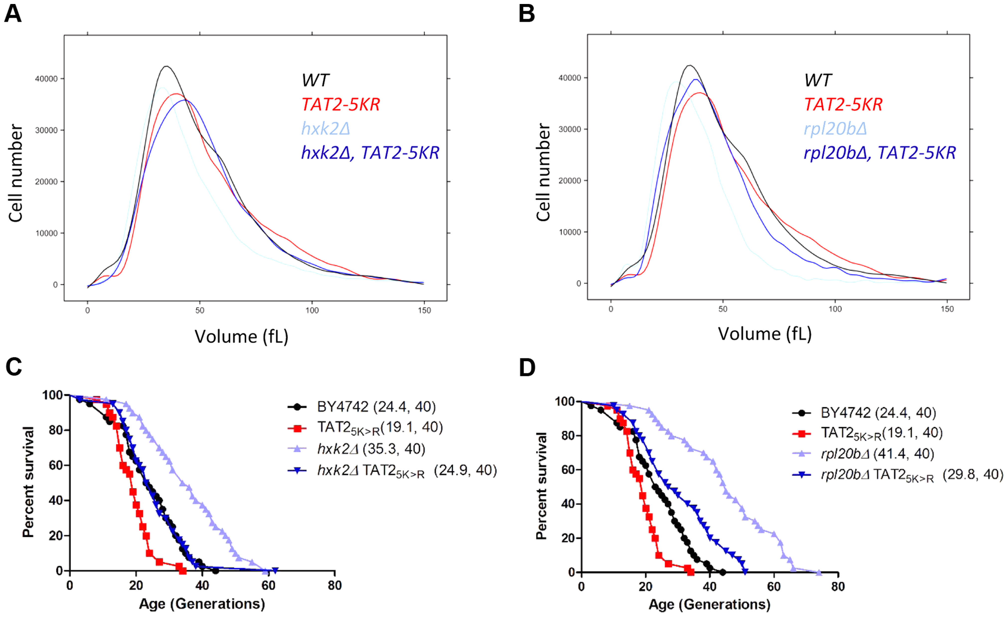 Stabilization of Tat2p increases birth size and suppresses replicative lifespan extension in <i>hxk2Δ</i> and <i>rpl20bΔ</i> cells.