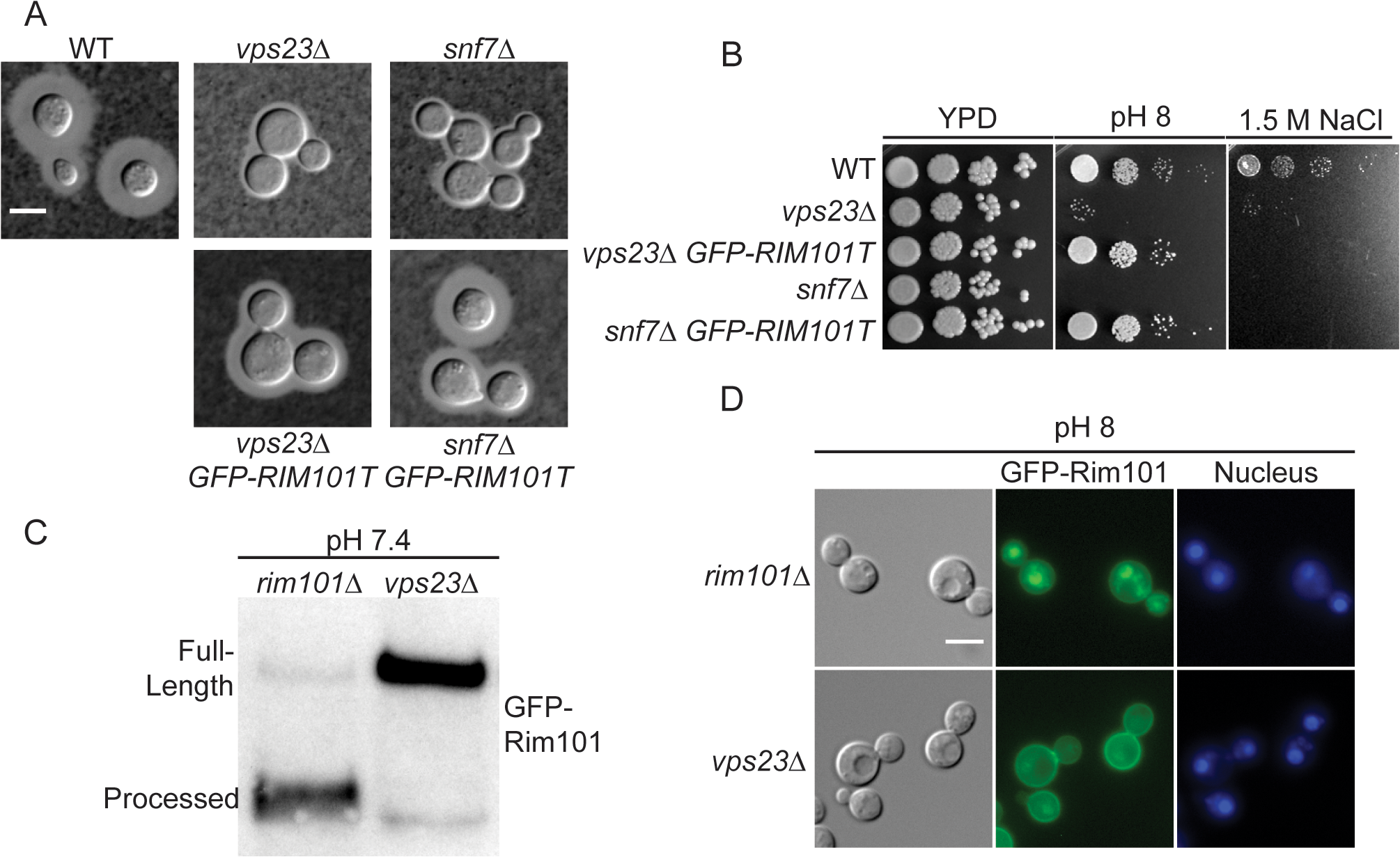 ESCRT complex proteins, Vps23 and Snf7, are required for Rim101 activation.