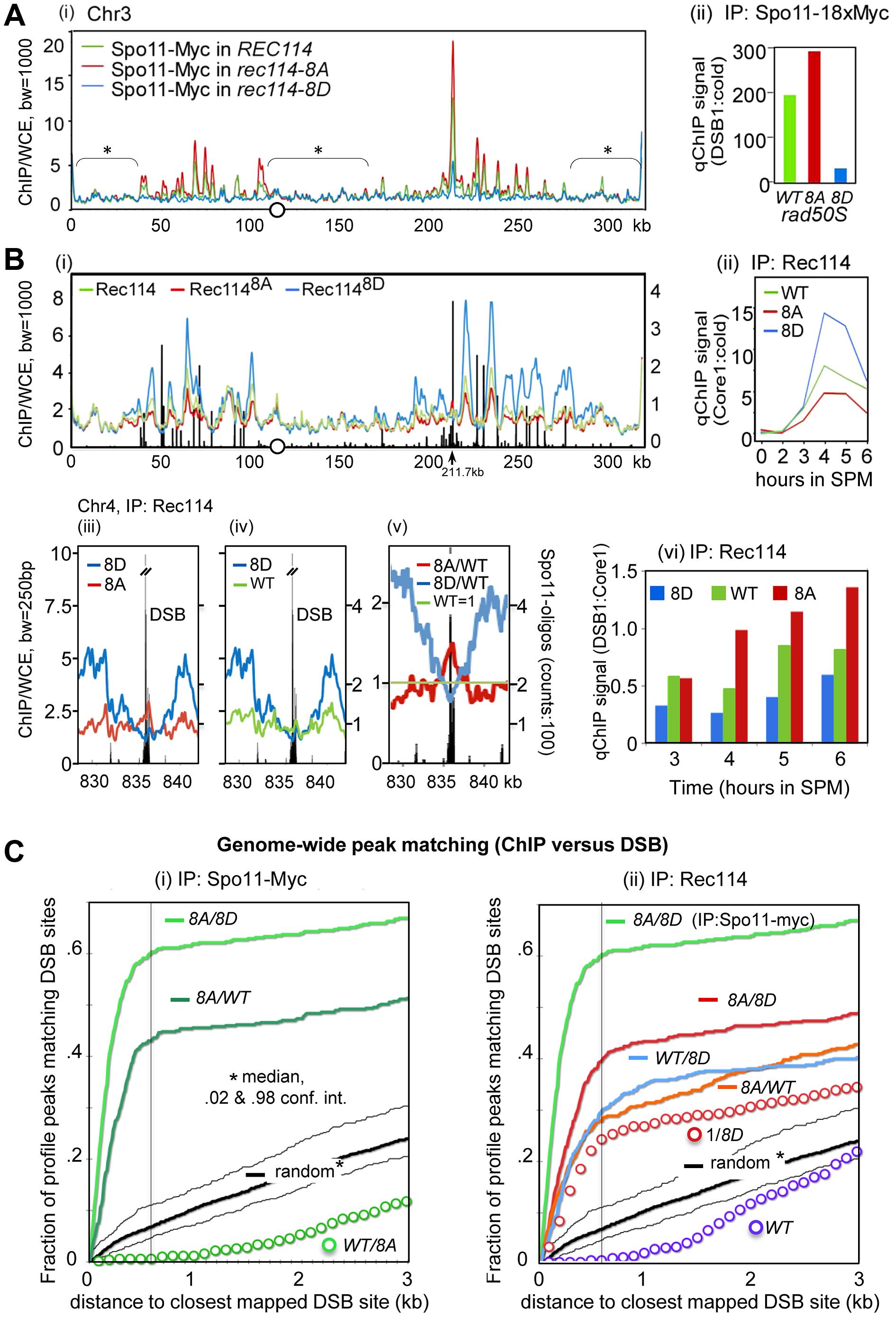 Rec114 phosphorylation down-regulates Spo11 catalysis and Rec114-DSB hotspot association.