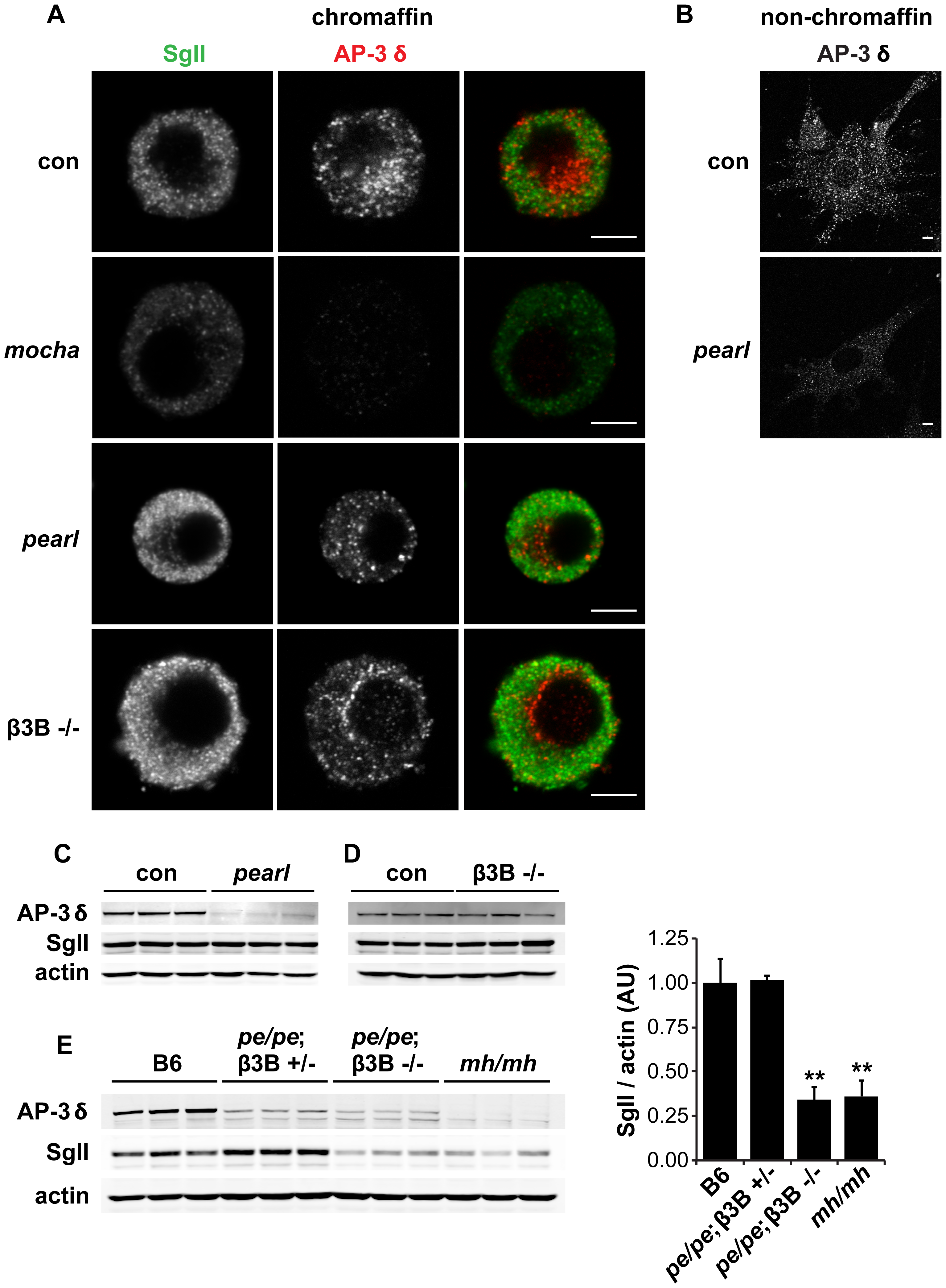 Concomitant loss of both β3A and β3B is required to reduce adrenal SgII.