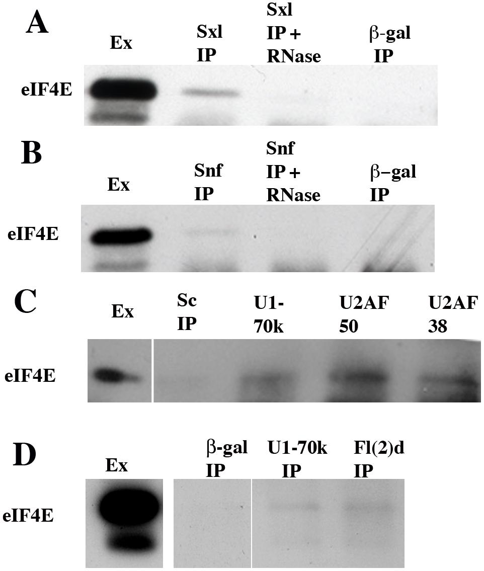 eIF4E co-immunoprecipitates with several splicing factors.