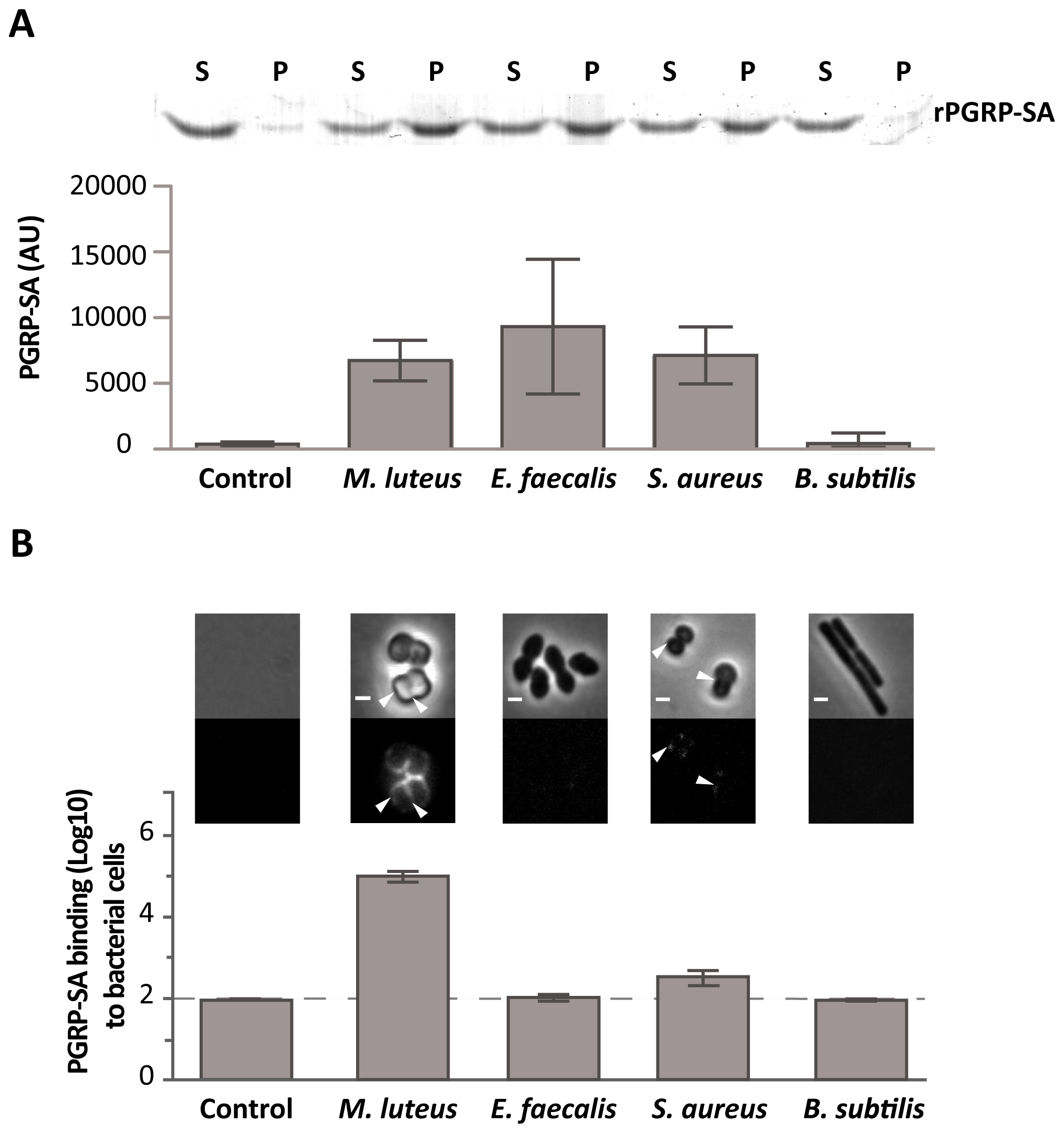 Differential binding of PGRP-SA to the surface of live Gram-positive bacteria.
