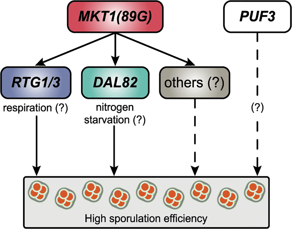 A model for the molecular basis of the <i>MKT1</i> causal variant in the sporulation efficiency variation.