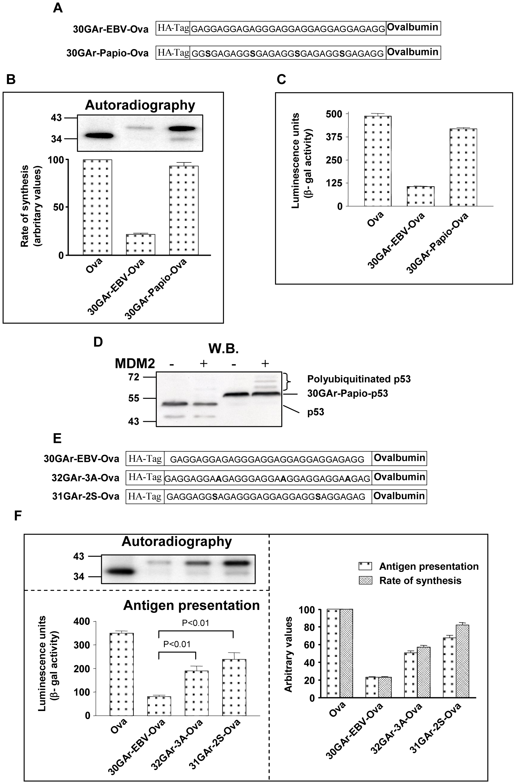 The rate of mRNA translation initiation directly correlates with the amount of antigen presented from a given mRNA.