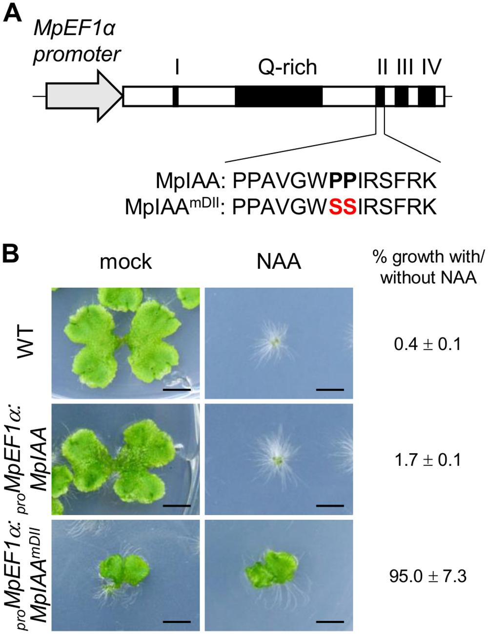 Effects of mutations in domain II of MpIAA on auxin sensitivity.
