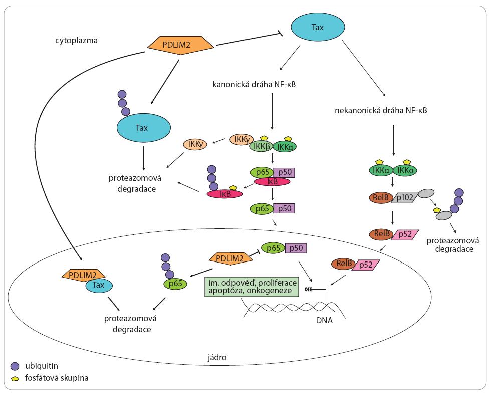 PDLIM2 a jeho vztah k virovému onkoproteinu Tax a drahám NF-κB.