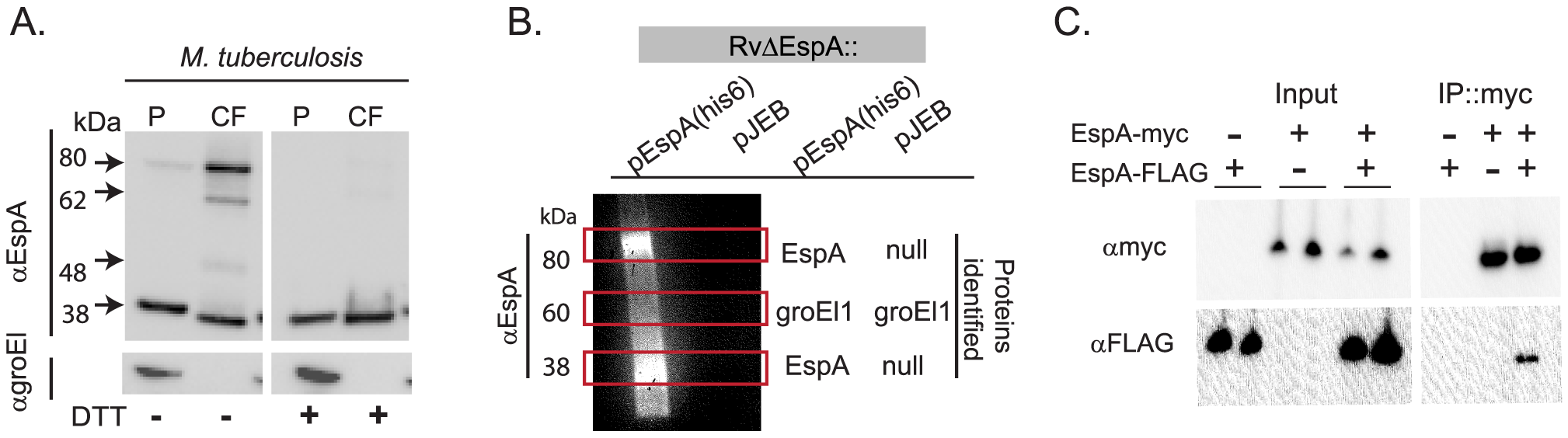 EspA forms disulfide dependent homodimers in wildtype <i>Mtb</i>.