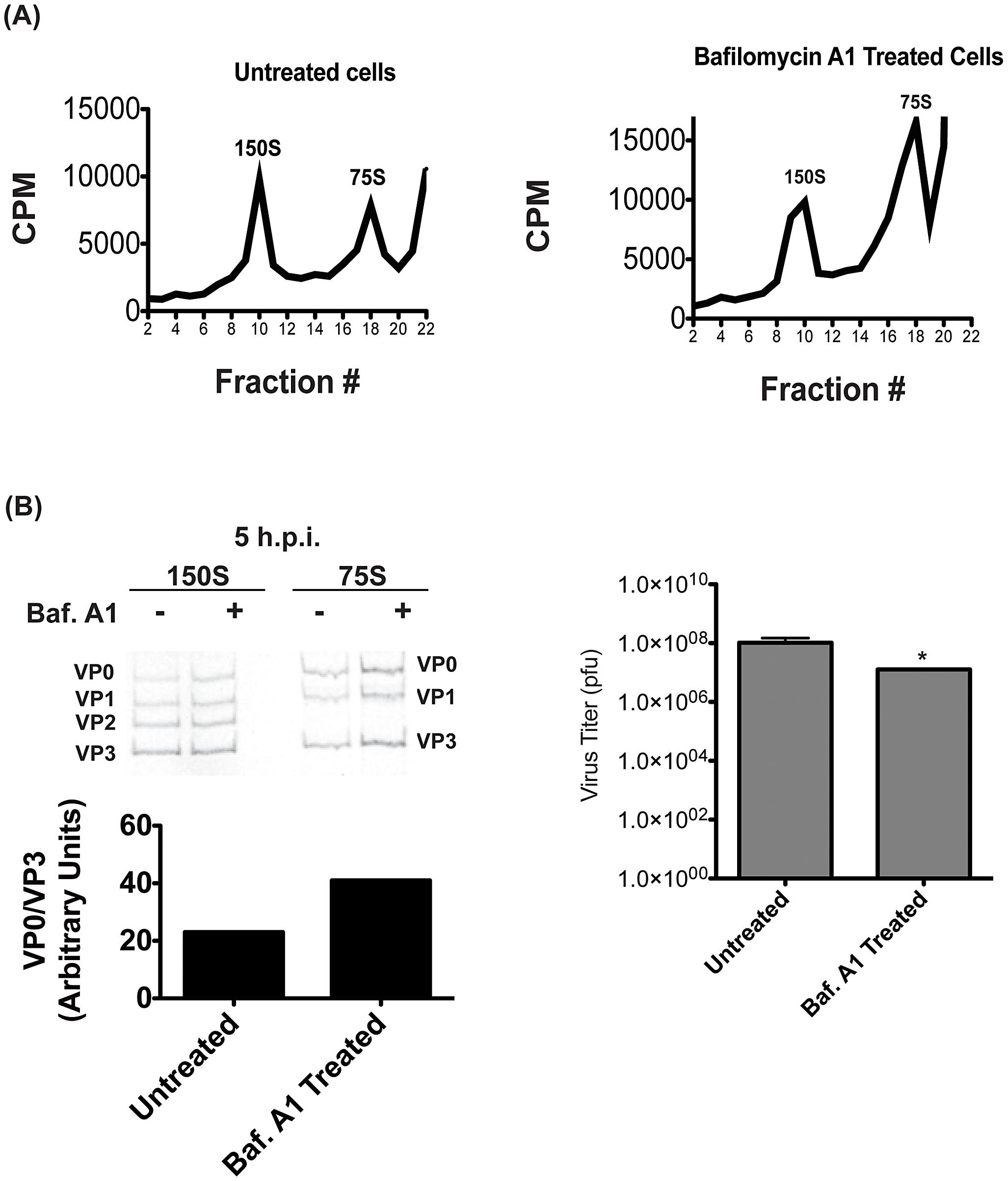 Proton pump inhibition also affects virion maturation.