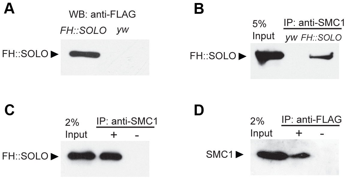 Co-immunoprecipitation of SOLO and SMC1 from ovarian extracts.