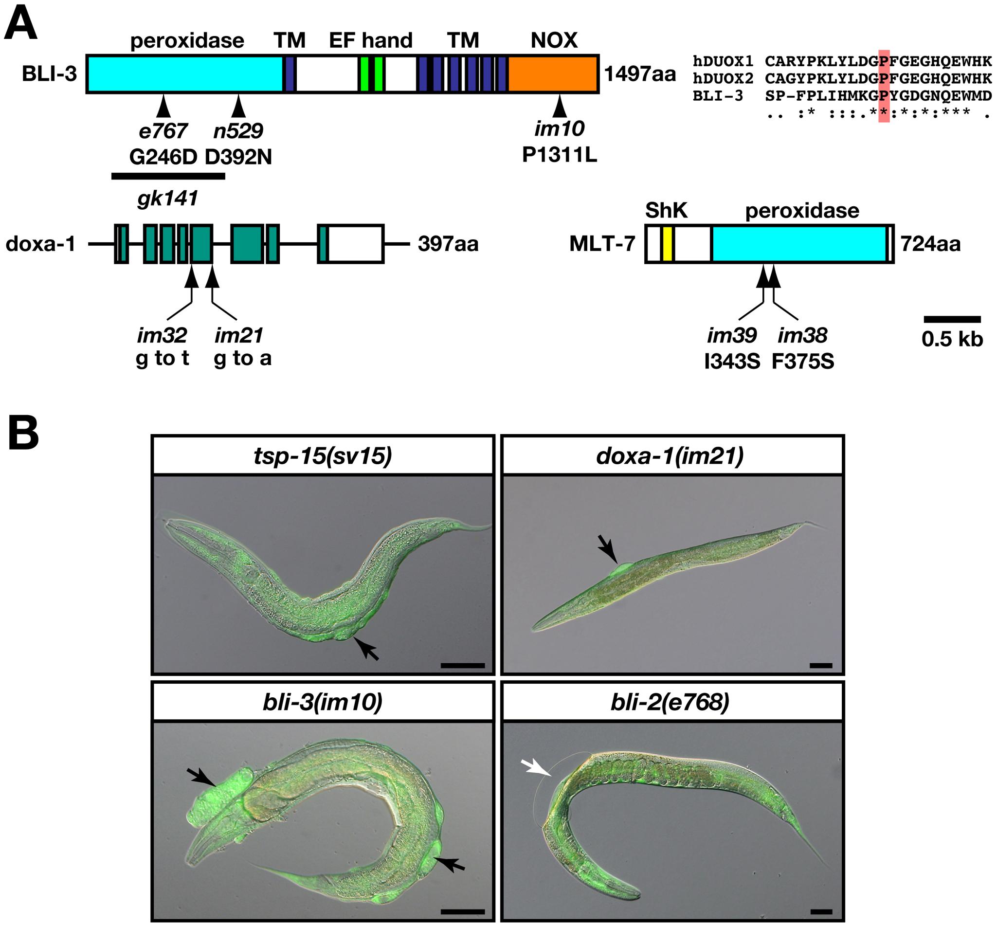 <i>bli-3</i> and <i>doxa-1</i> mutants are similar to the <i>tsp-15</i> mutant.