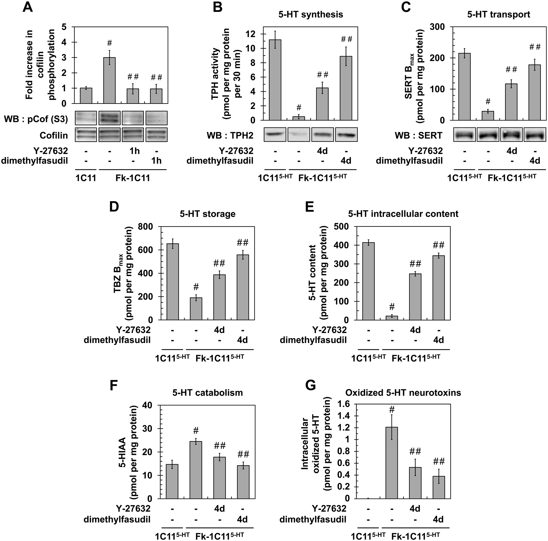 Inhibition of ROCK restores neurotransmitter-associated functions in prion-infected 1C11<sup>5-HT</sup> neuronal cells.