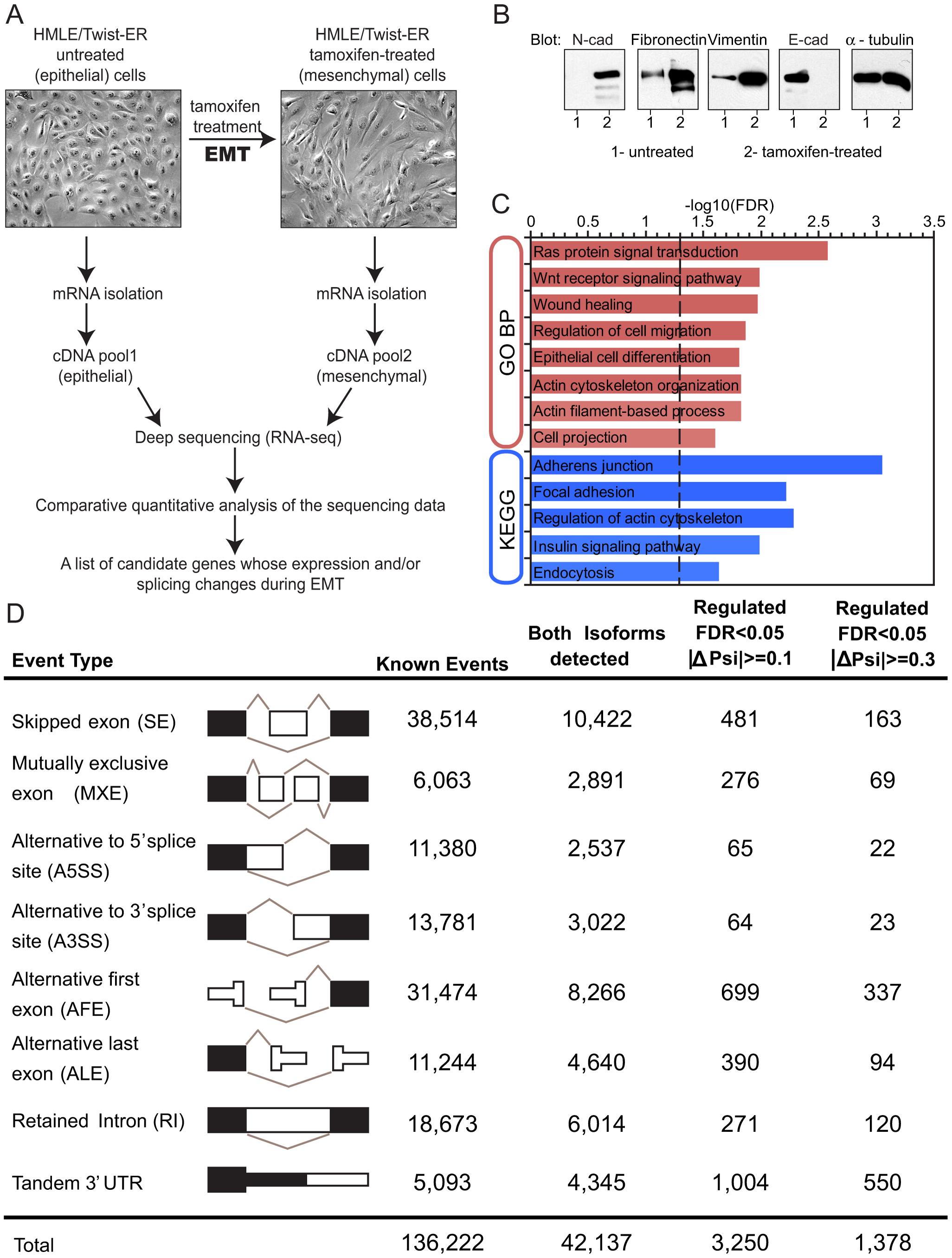 Alternative mRNA isoform expression in EMT.