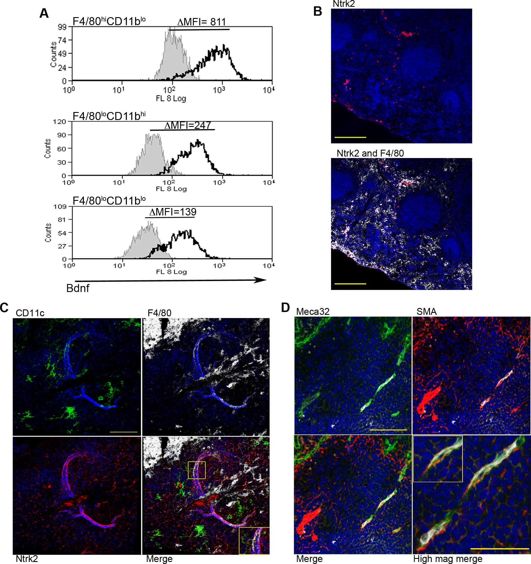 Infection-induced expression of Bdnf and Ntrk2 in spleen.
