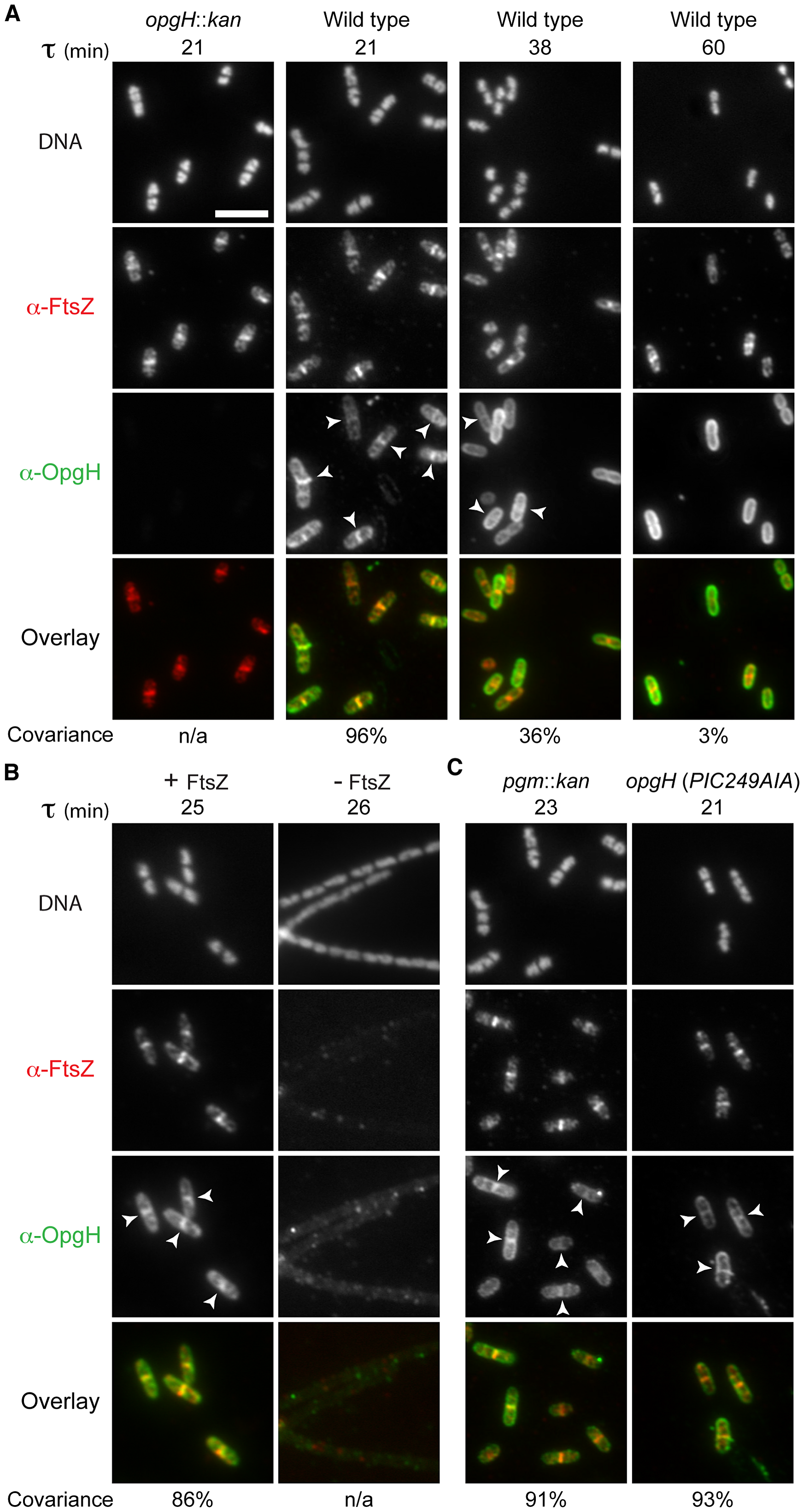 OpgH localizes to midcell in a growth rate- and FtsZ-dependent manner.