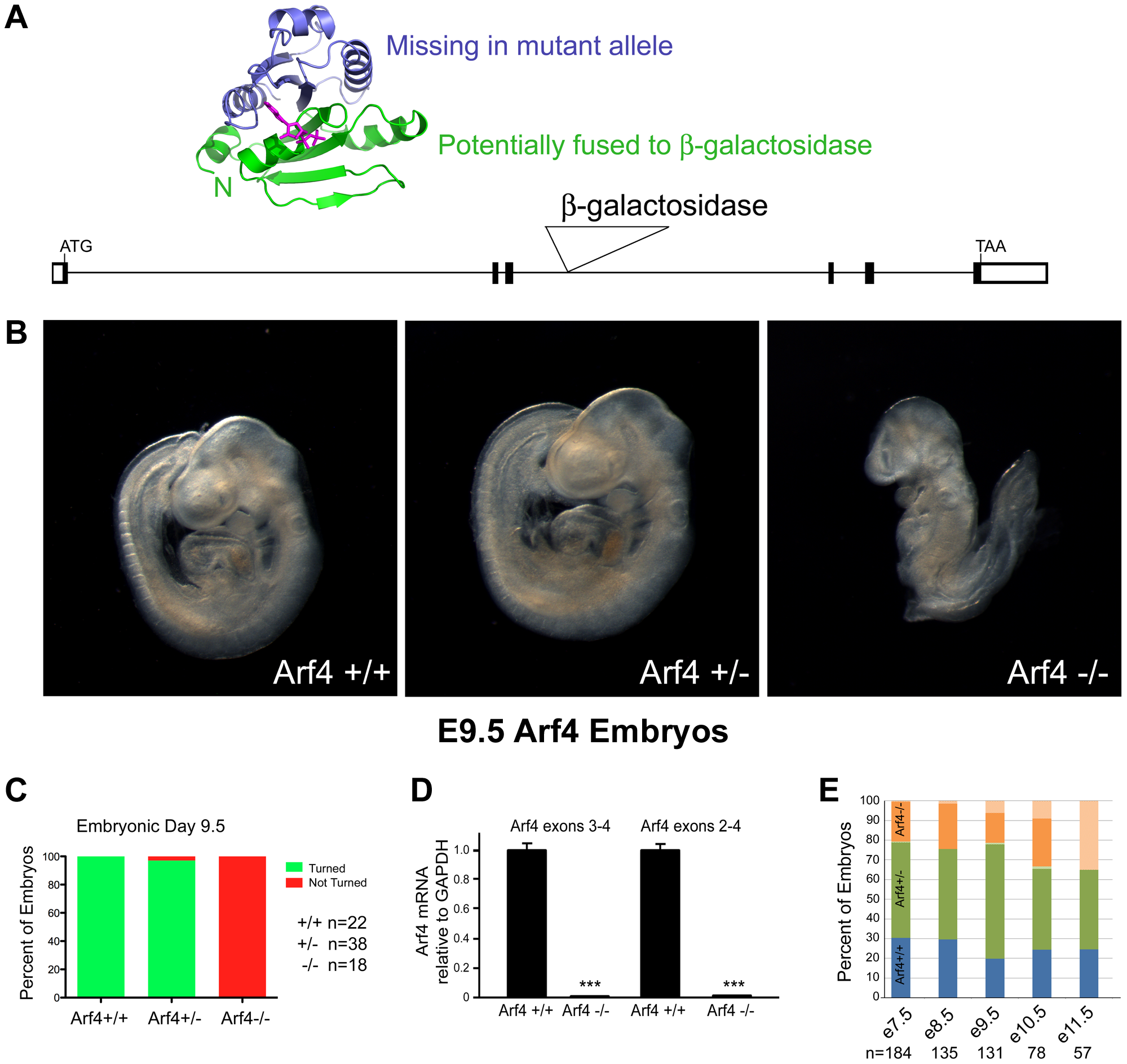 Arf4 mutant mice are embryonic lethal.