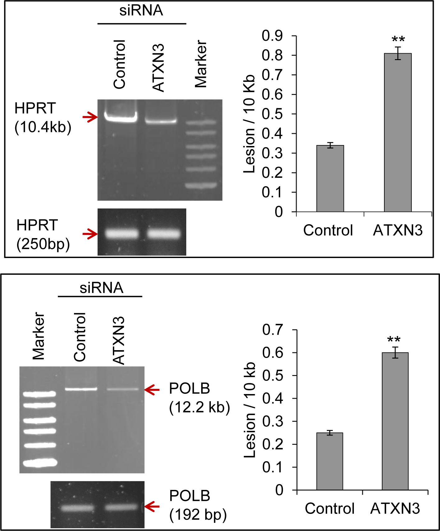 ATXN3 depletion increases DNA strand break levels in the nuclear genome.