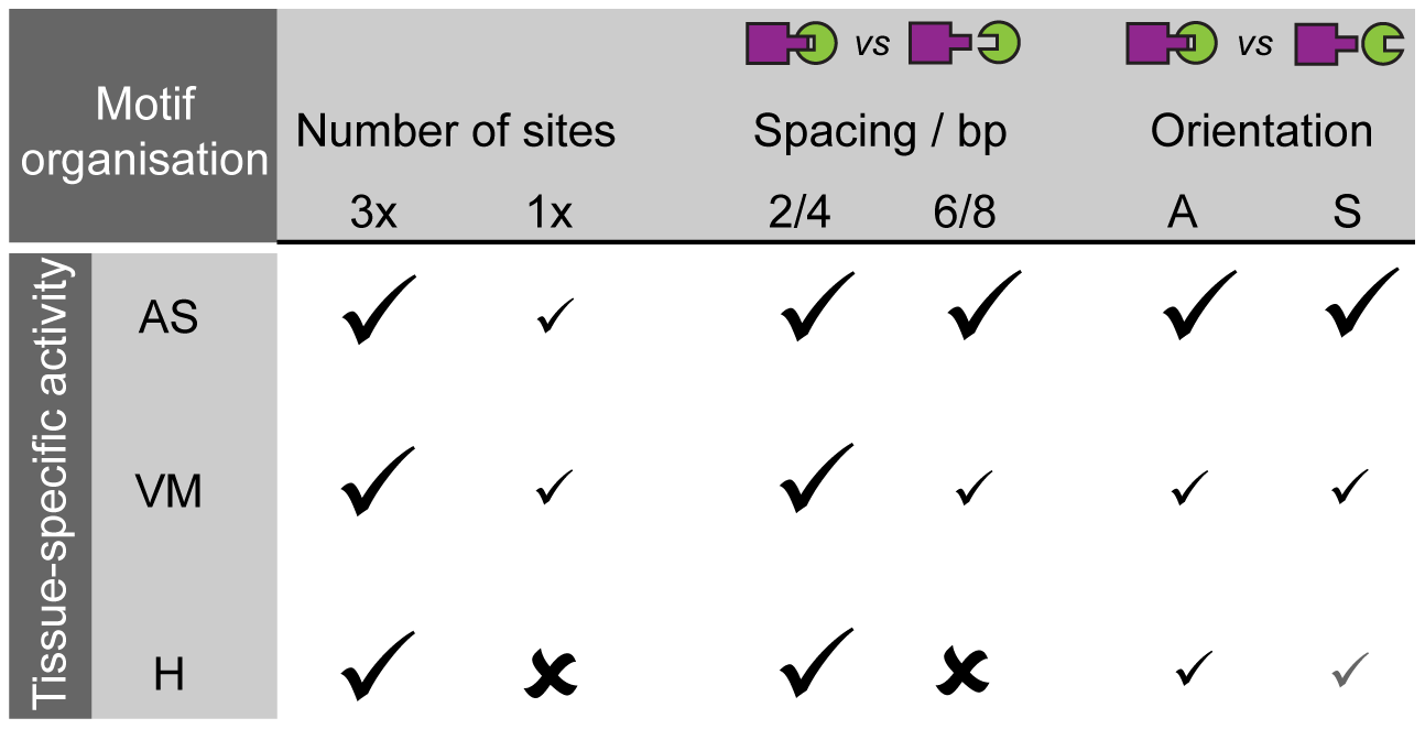 Motif organisation affects the ability of two TF motifs to elicit activity in a tissue-specific manner.