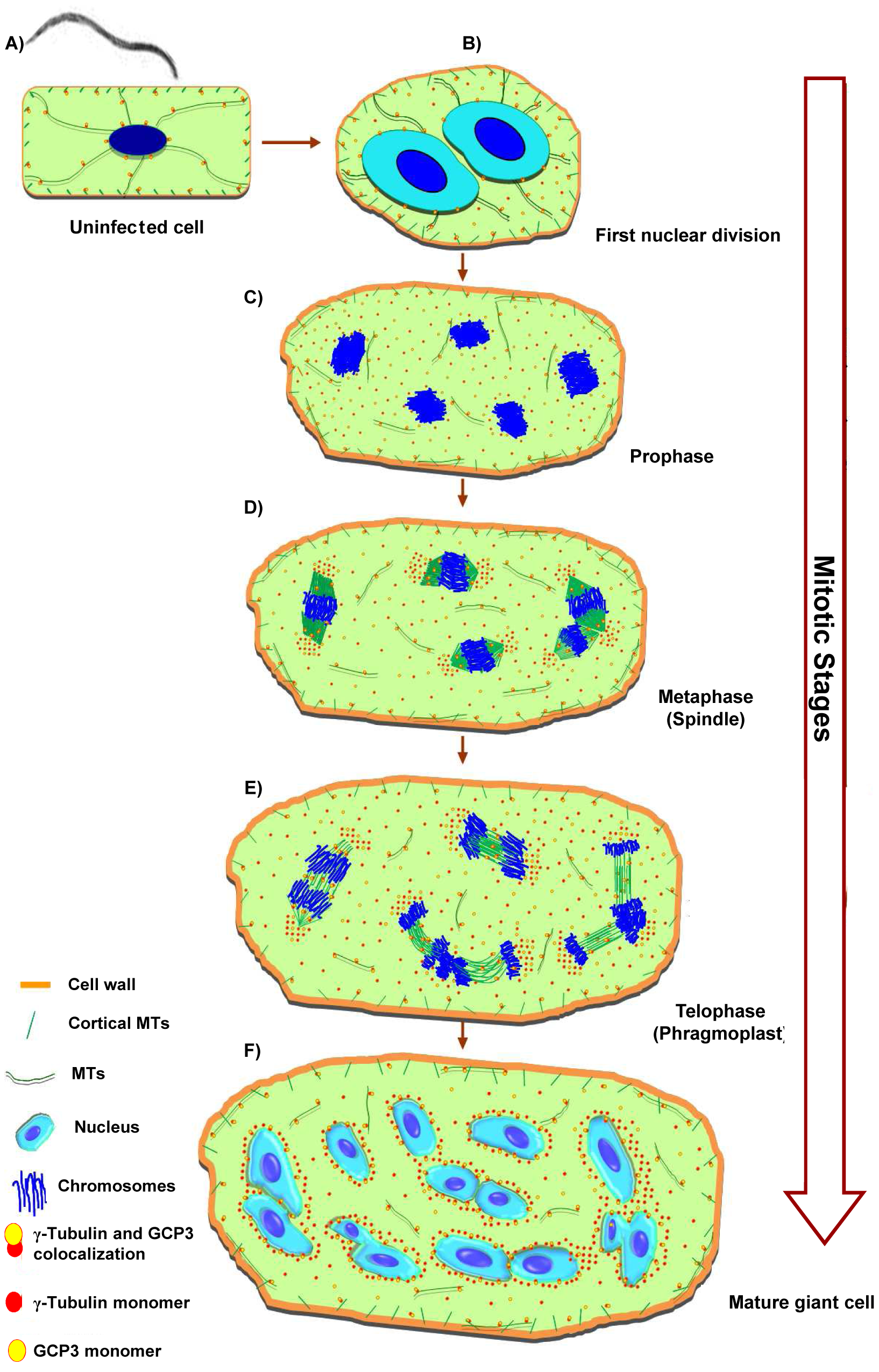 Microtubule Organization in Giant Cells.