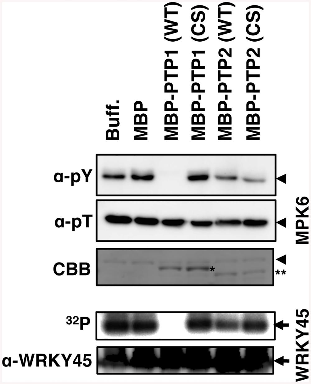 OsPTP1 directly dephosphorylates and inactivates OsMPK6 <i>in vitro</i>.