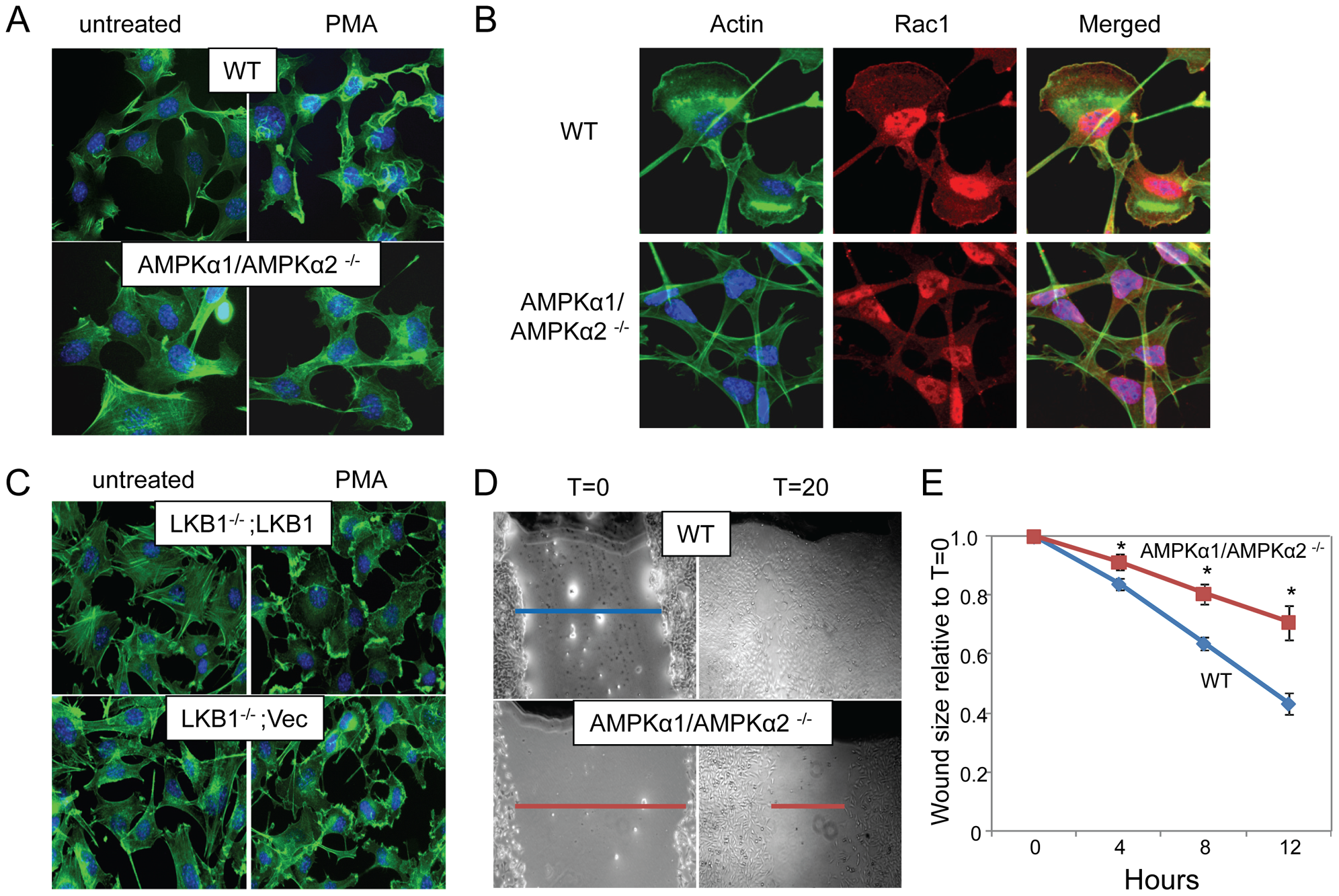 AMPK is required for actin-dependent membrane ruffling and wound healing independent of LKB1.