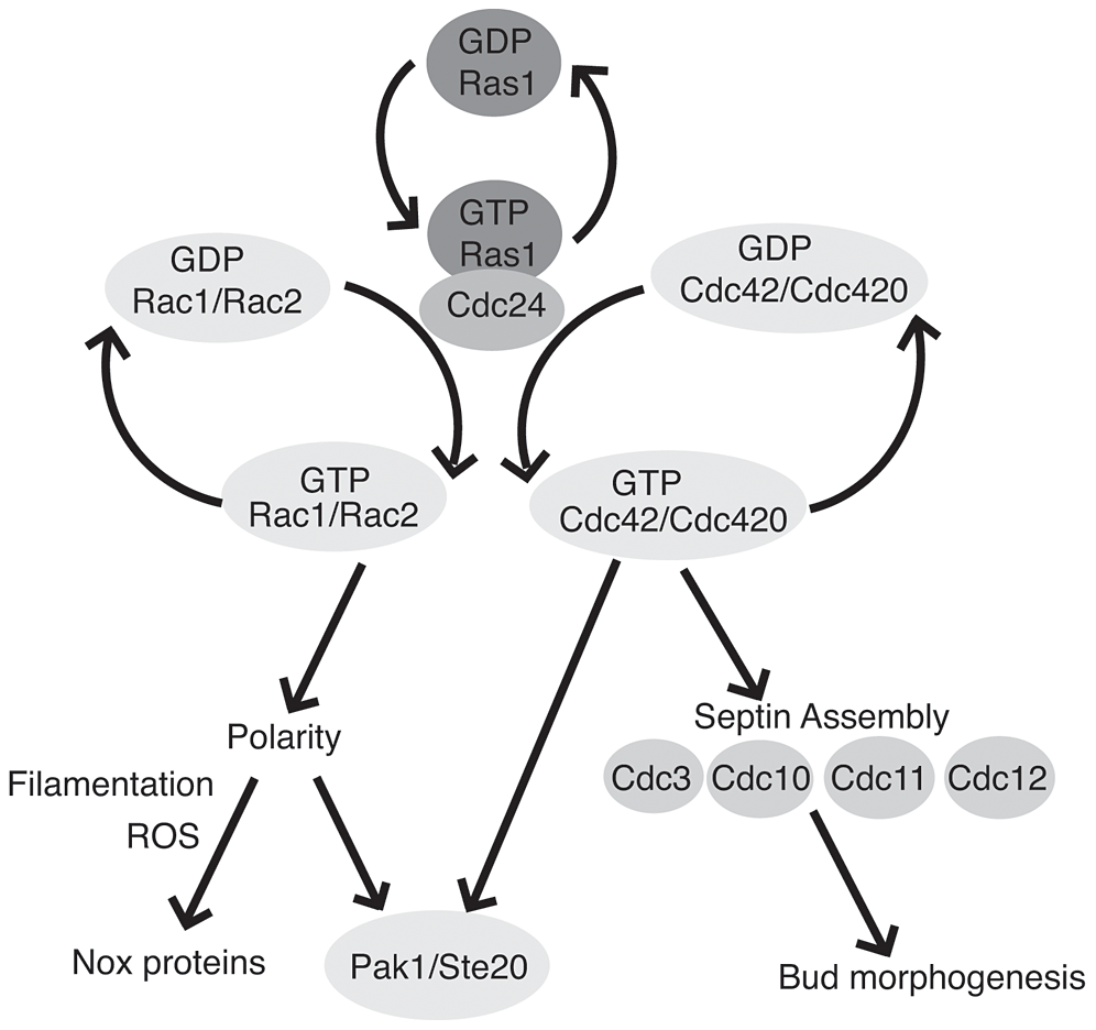 Ras1 acts through Cdc42 and Rac paralogs to regulate polarized growth and morphogenesis.