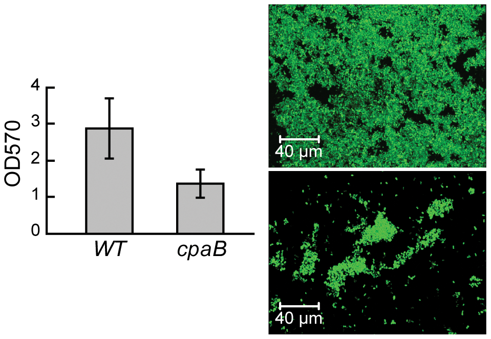 TAD pili in <i>A. brasilense</i> are required for biofilm formation.