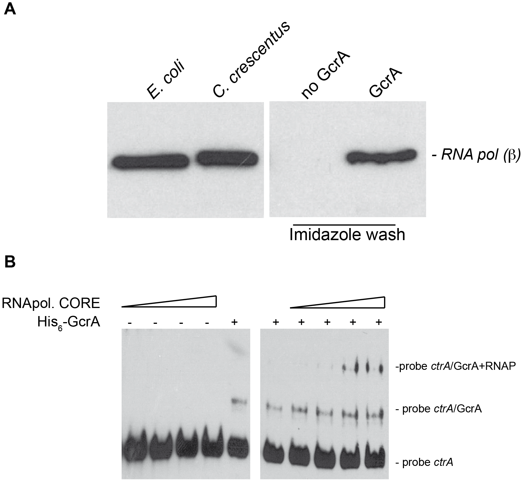 GcrA interacts with RNA polymerase.