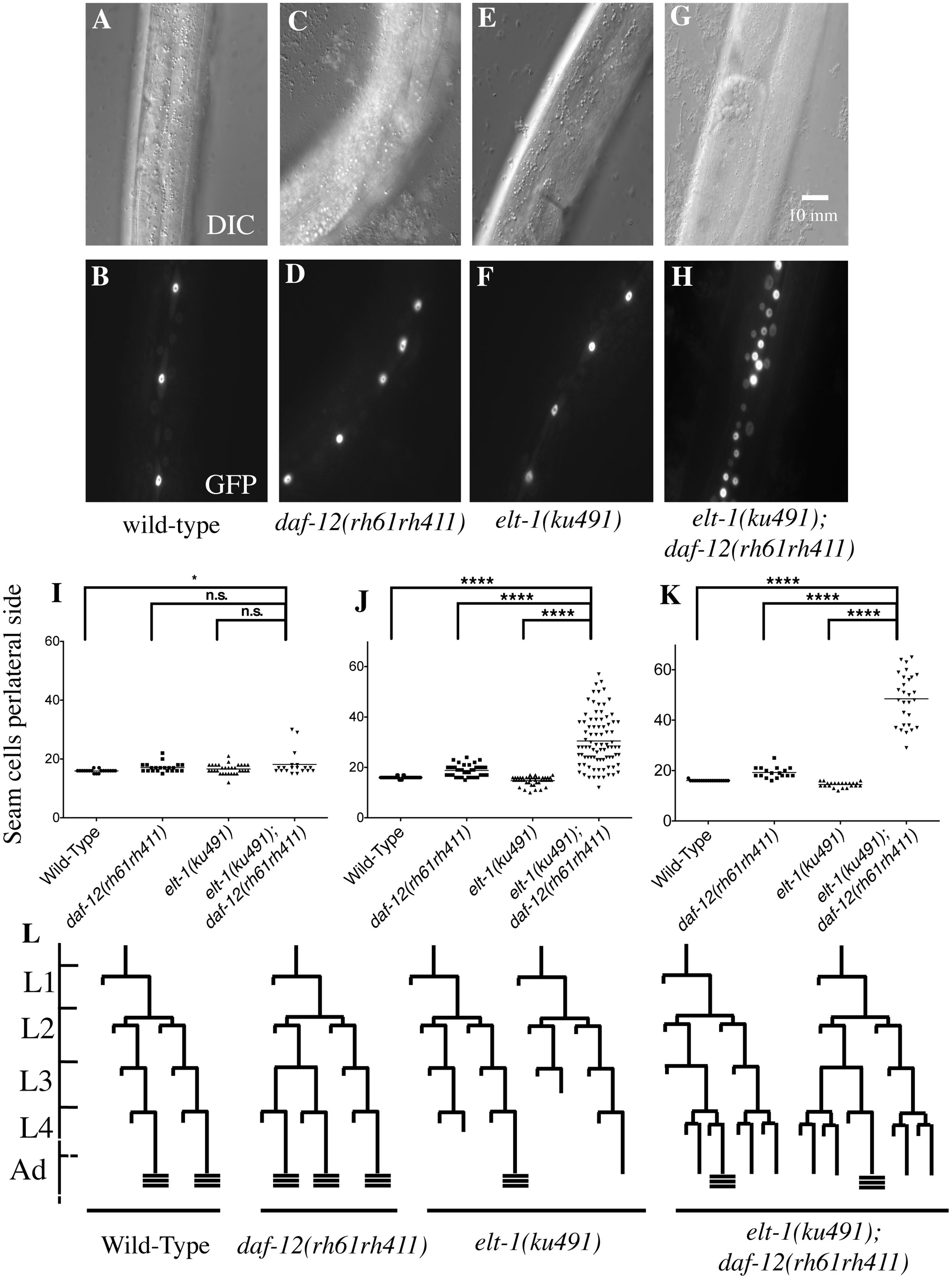 ELT-1/GATA acts in parallel to DAF-12/NHR to regulate developmental timing in <i>C</i>. <i>elegans</i>.