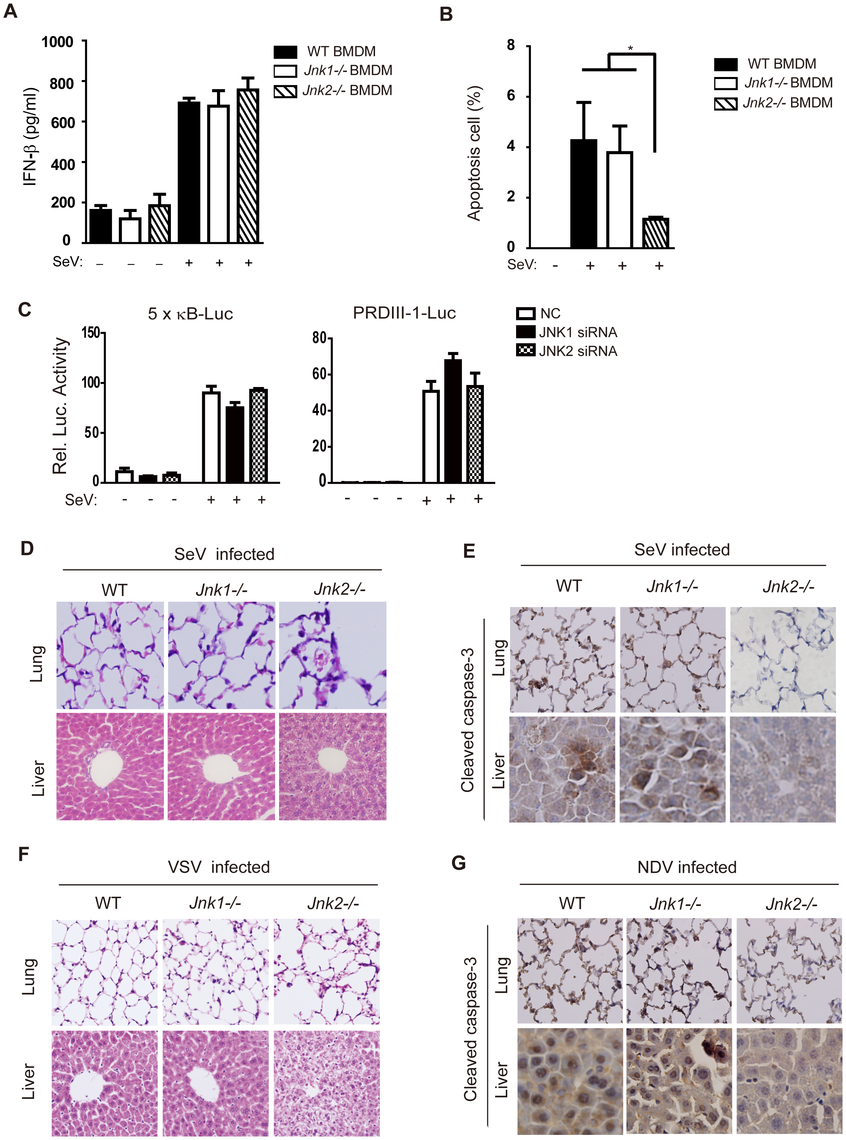 JNK2 protects mice against virus-induced organ injury.