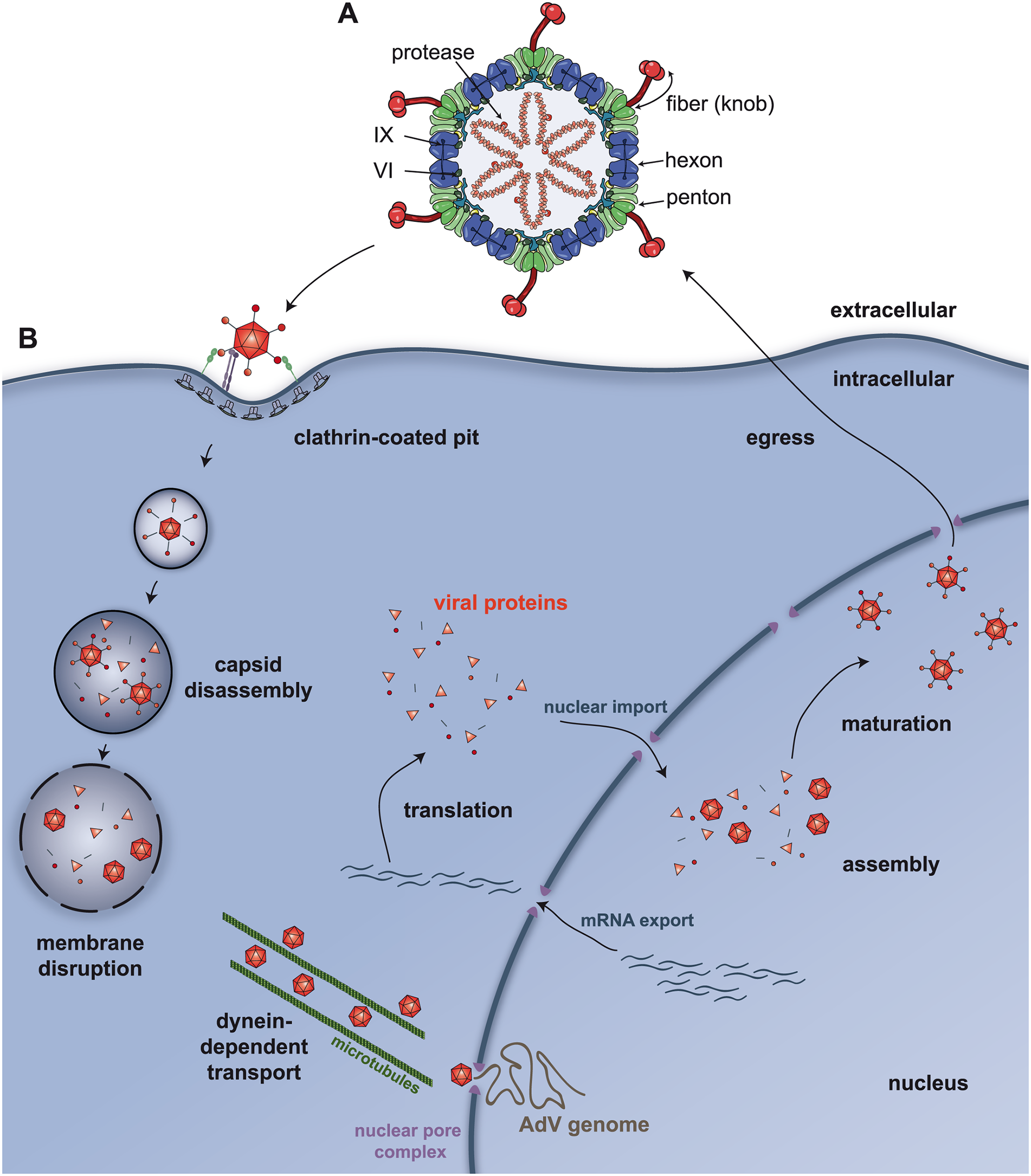 Adenovirus structure and trafficking.